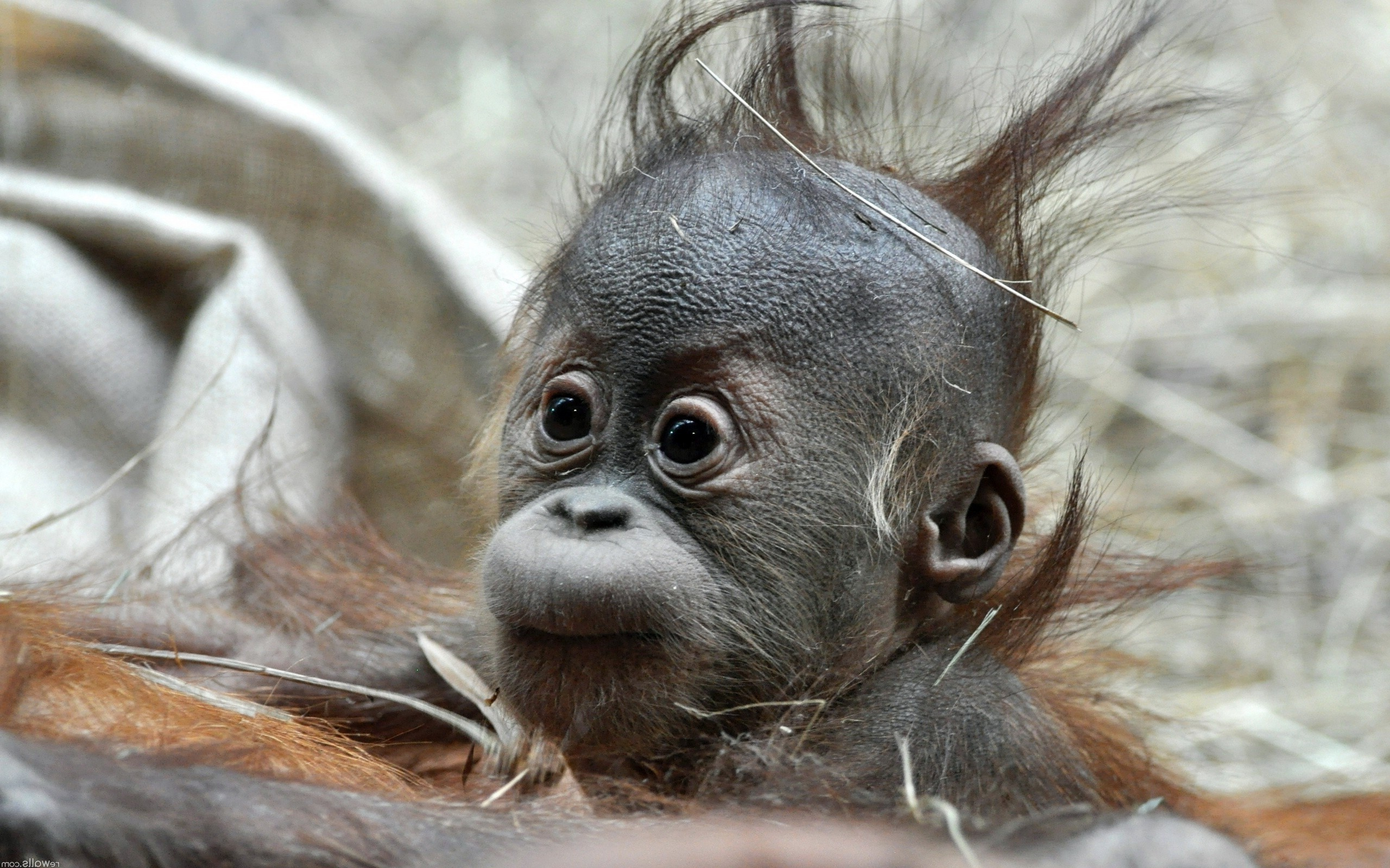 Monkey Baby Picture wallpapers (9 Wallpapers)