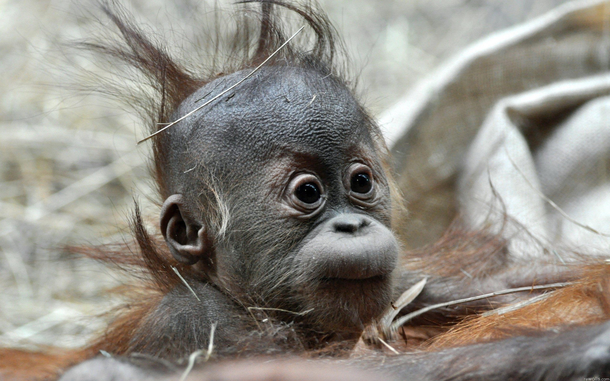 Baby monkey wallpapers and images – wallpapers, pictures, photos