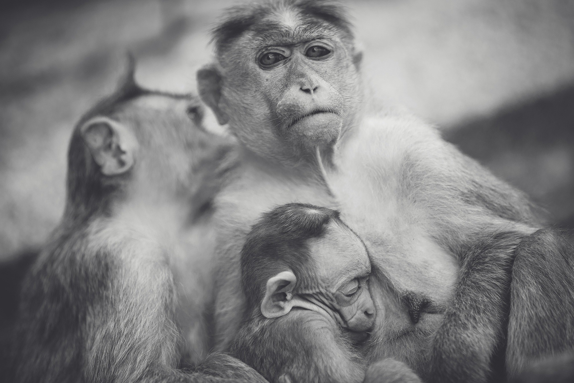 Wallpaper Monkey, Baby, Bw