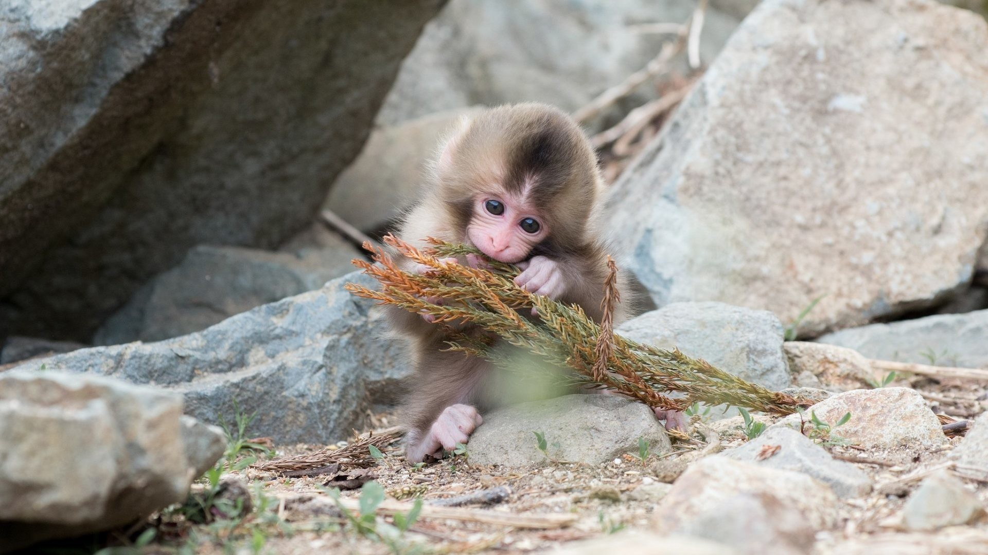 Monkeys Tag – Animals Monkey Ape Stones Monkeys Baby Wild Images for HD 16:9