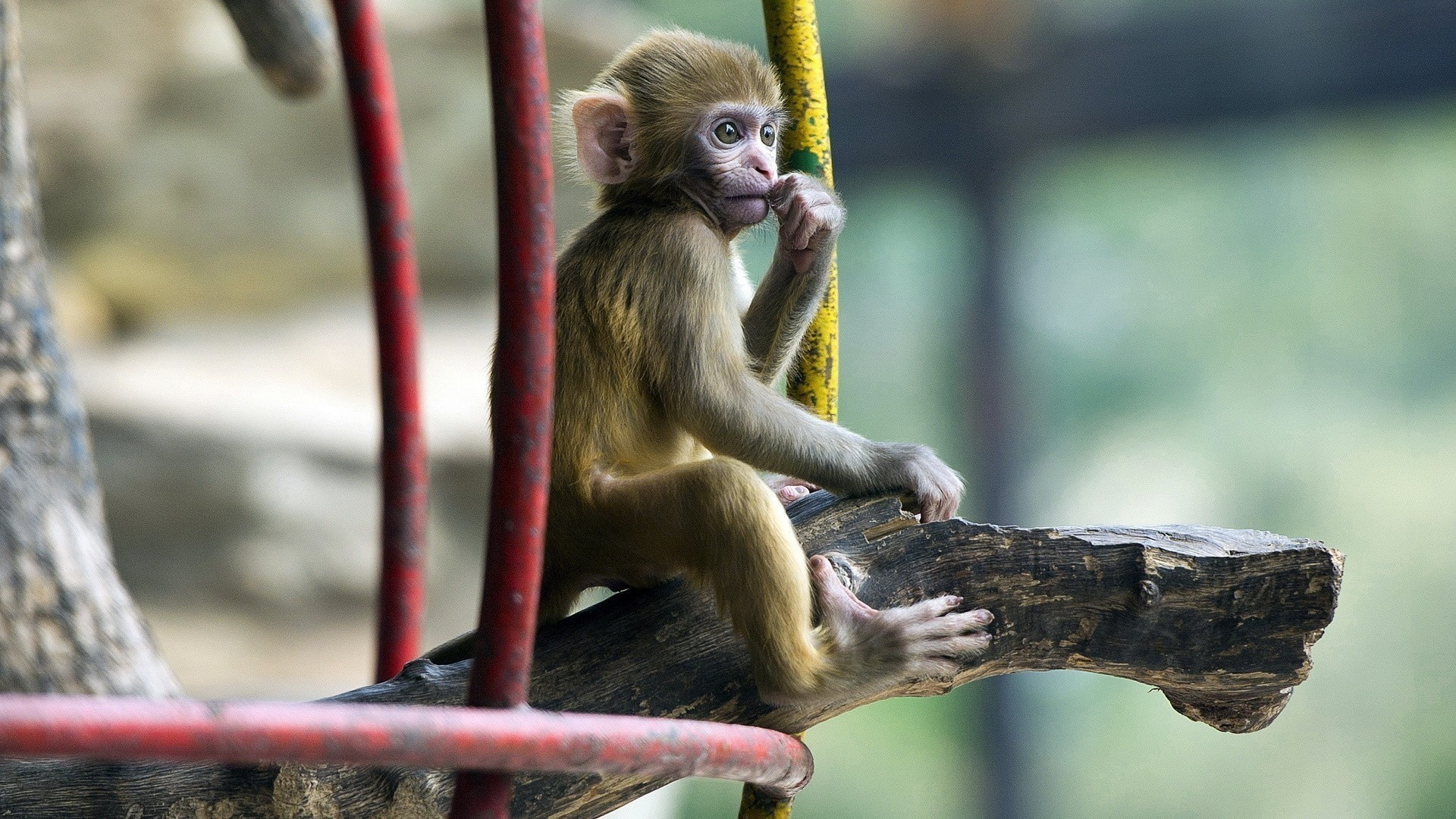 baby monkey desktop wallpaper 6479