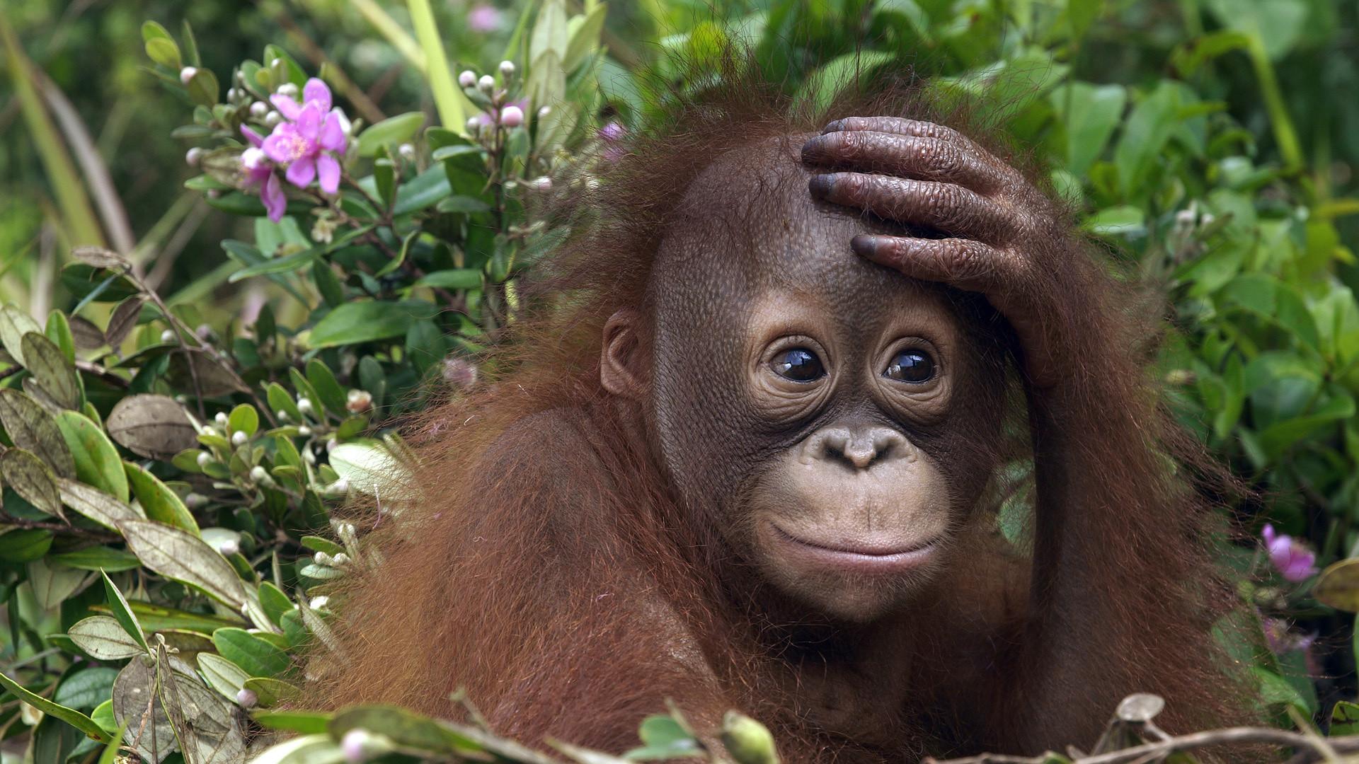 Animal Orangutan Wallpaper