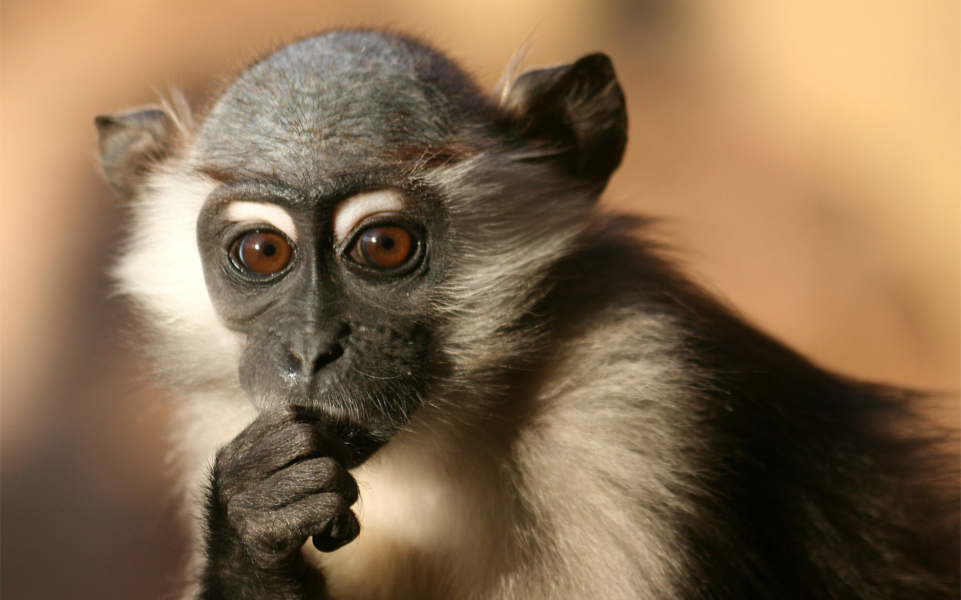 Free Download Cool Monkey Wallpapers Baby Wallpaper