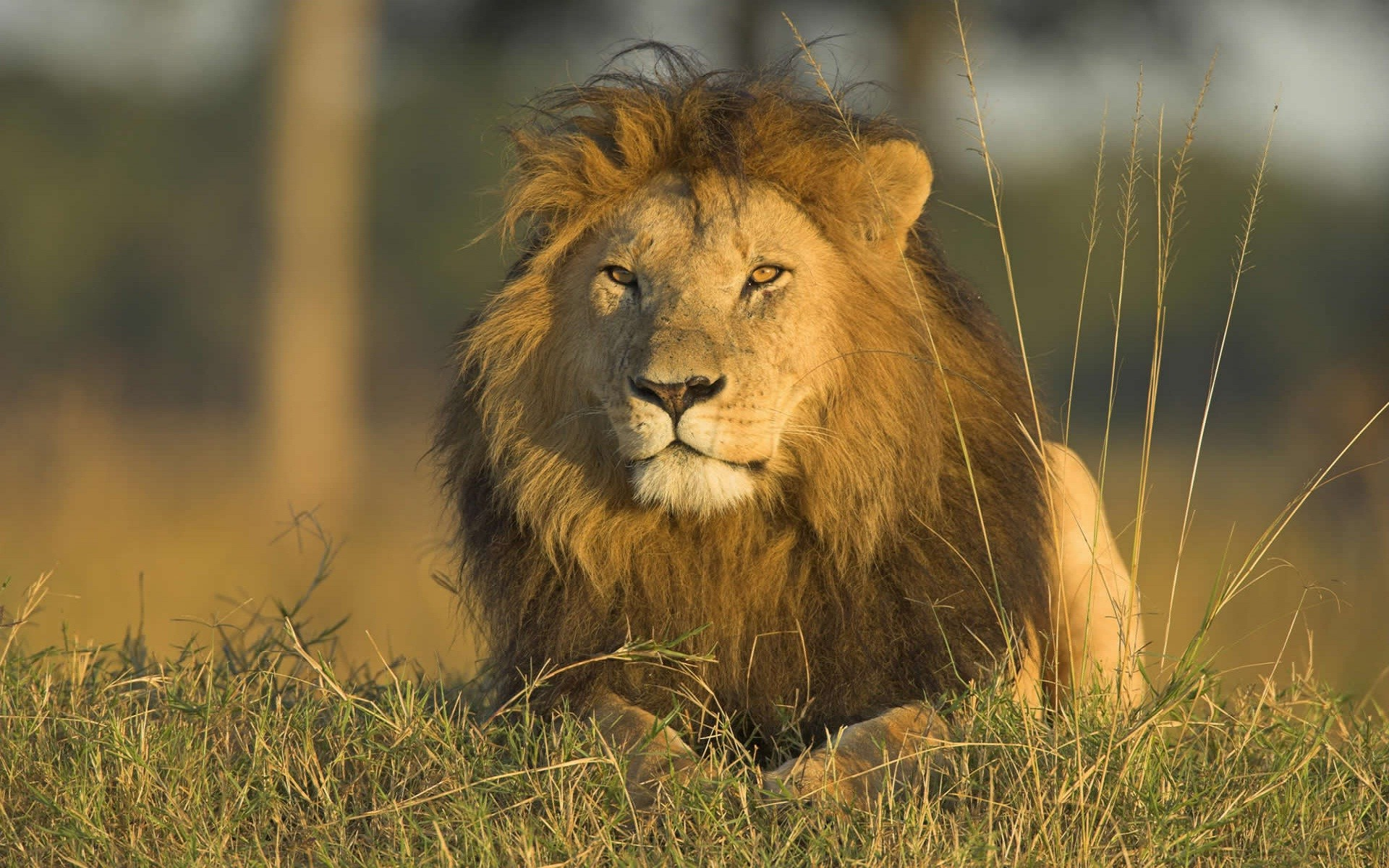 Danger lion in jungle most beautiful picture – New hd .