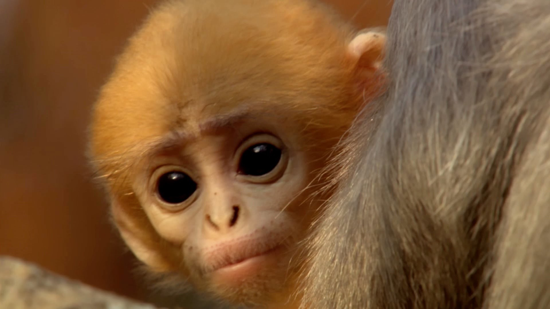 Cute baby monkey has too many babysitters – Animal Super Parents: Episode 3  Preview – BBC One – YouTube