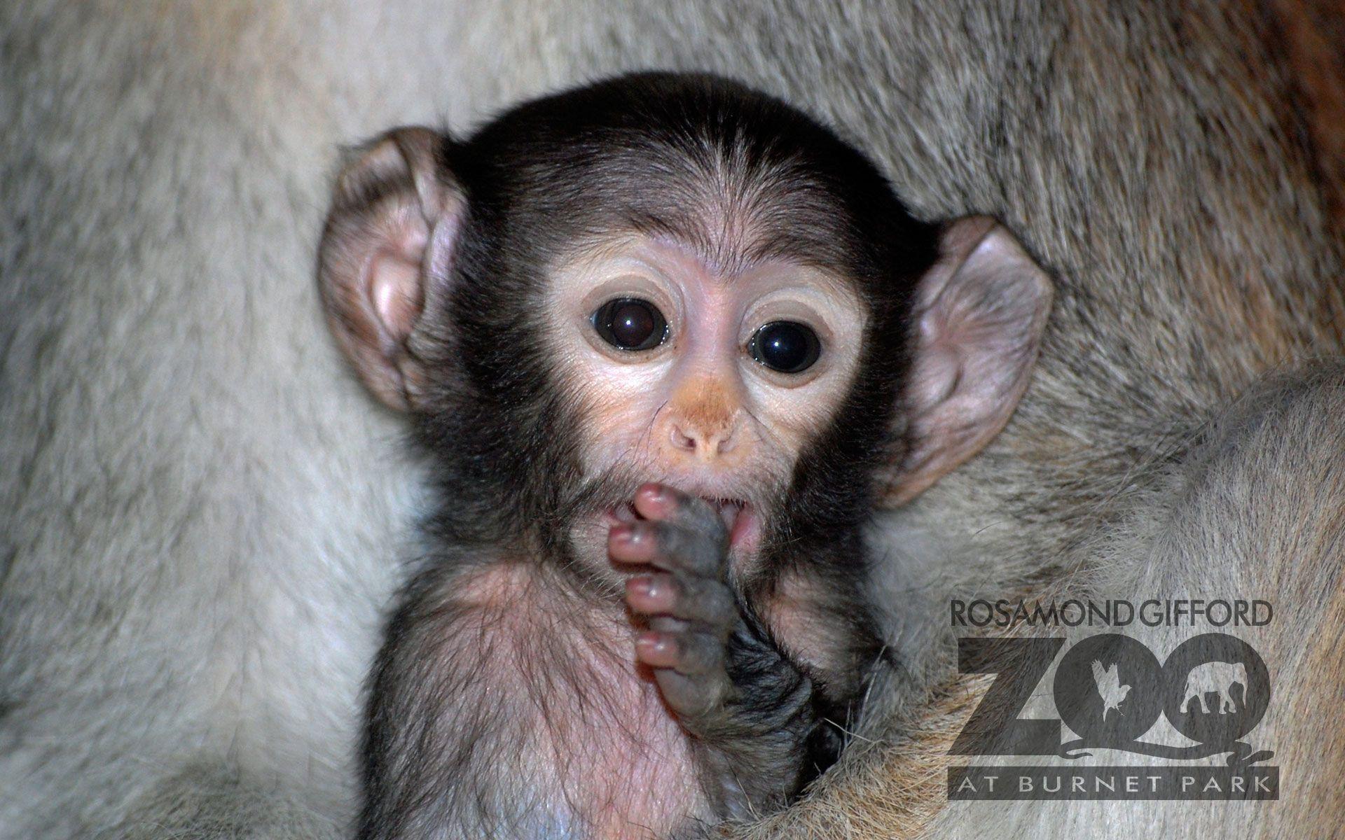 Baby Monkey Wallpaper X