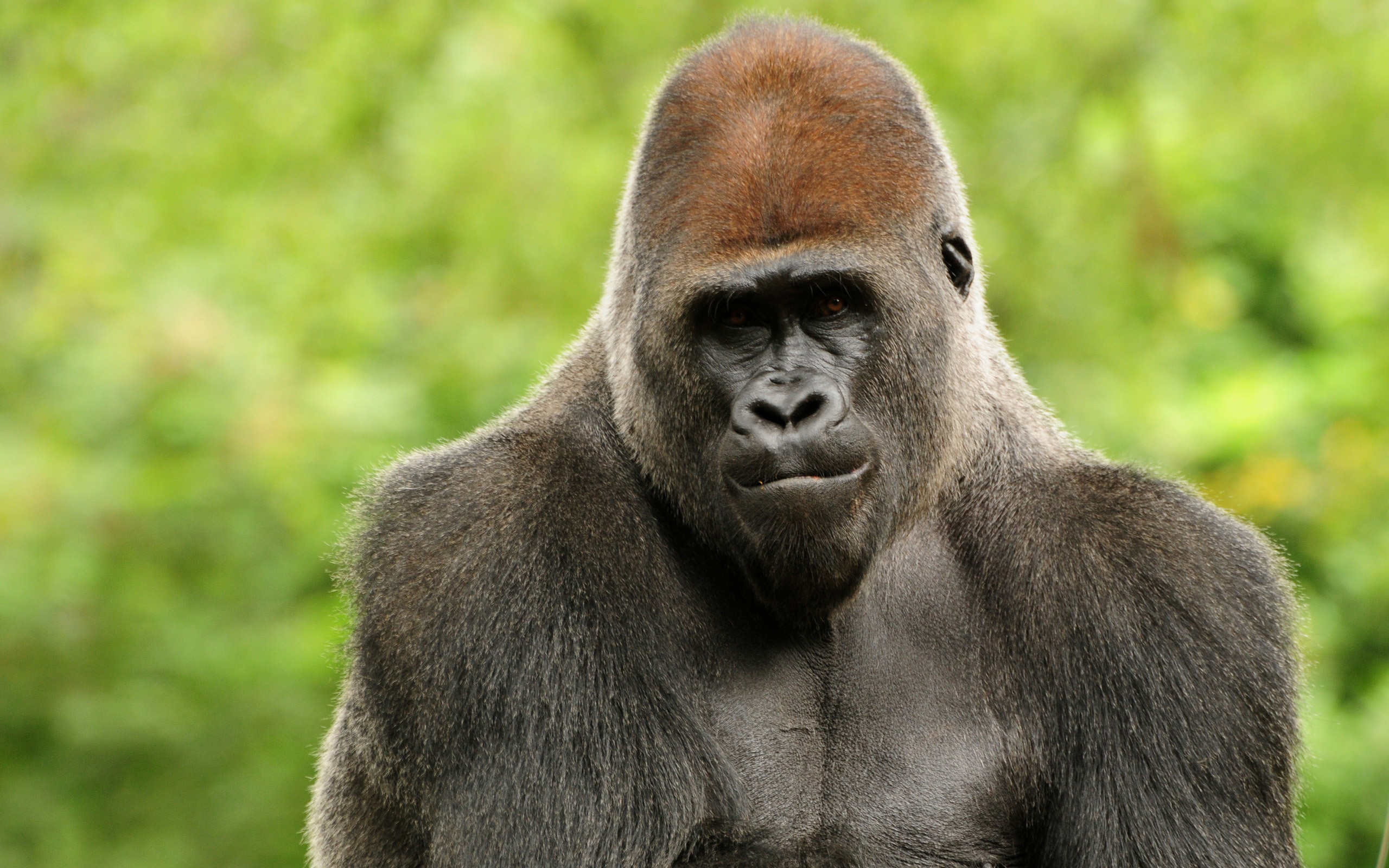 free gorilla pictures | … gorilla curly hair gorilla cute image cute baby  gorilla