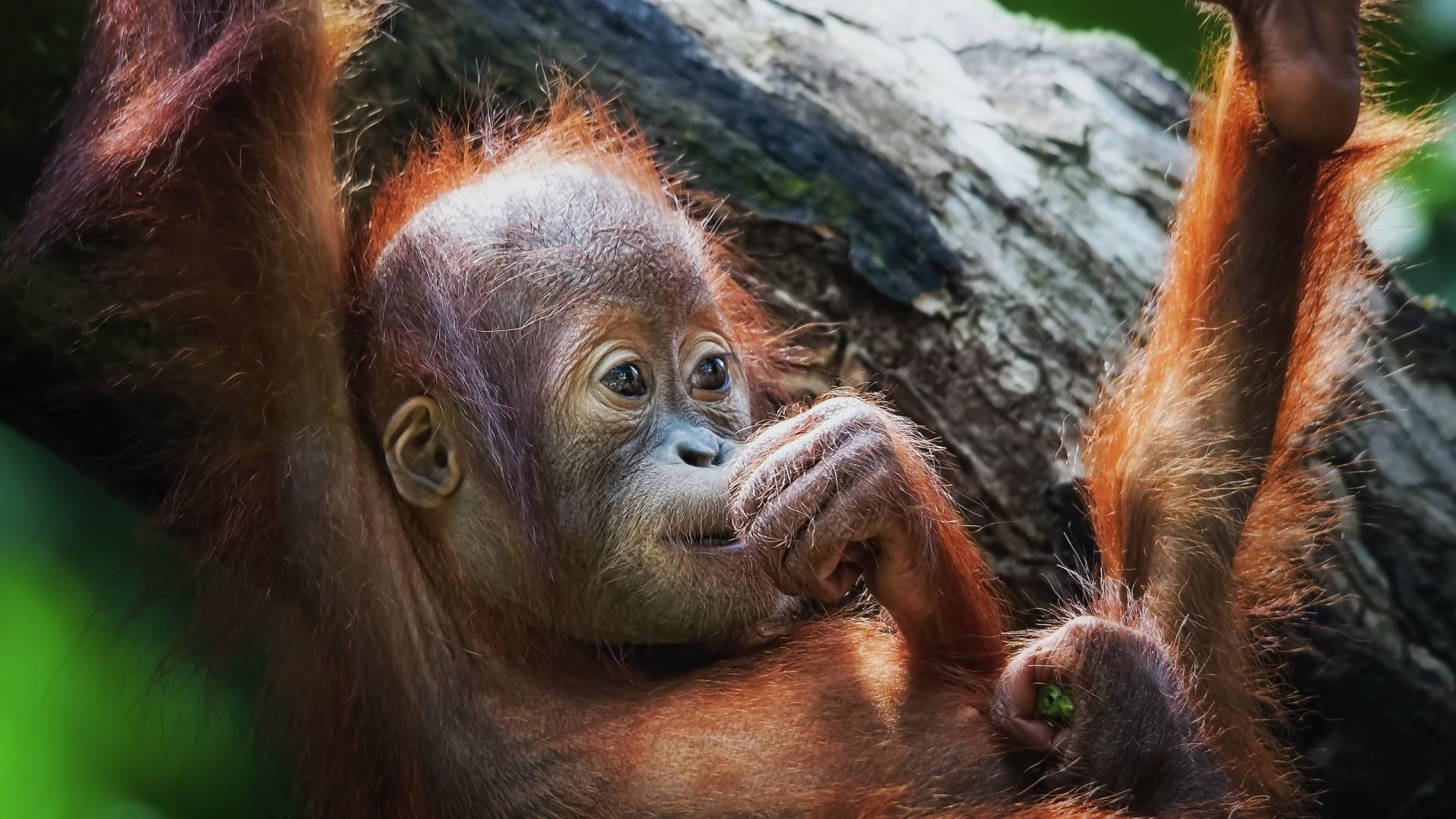 Wallpaper monkey, face, baby, lie