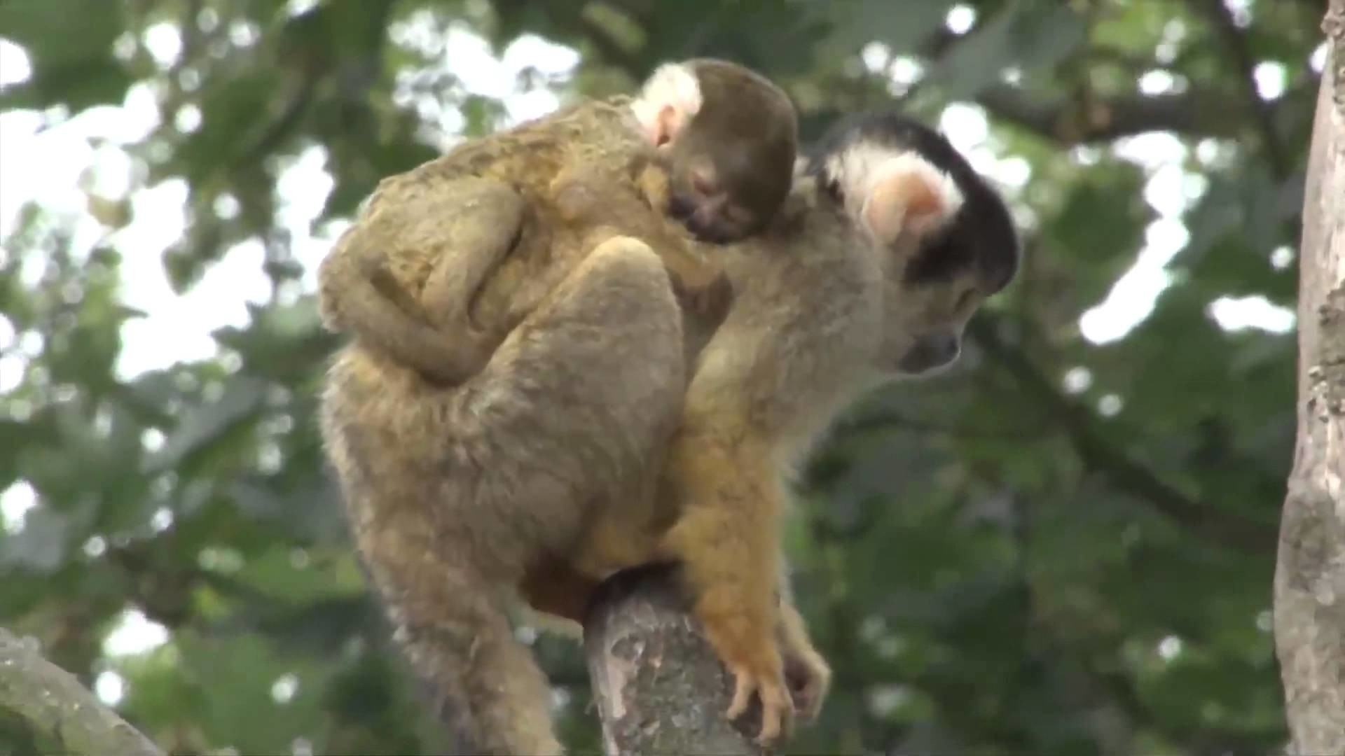 Adorable Baby Monkey Clings to Mom at London Zoo