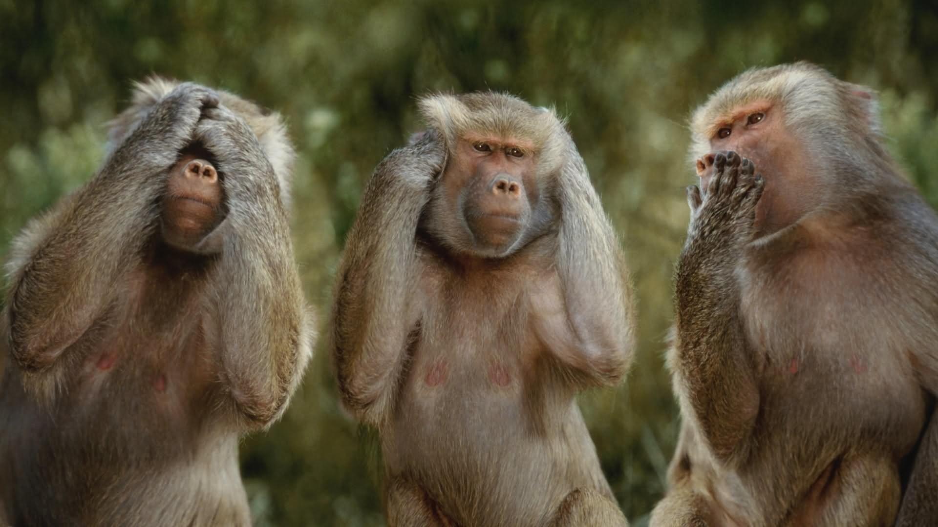 Funny Mizaru Monkey Picture
