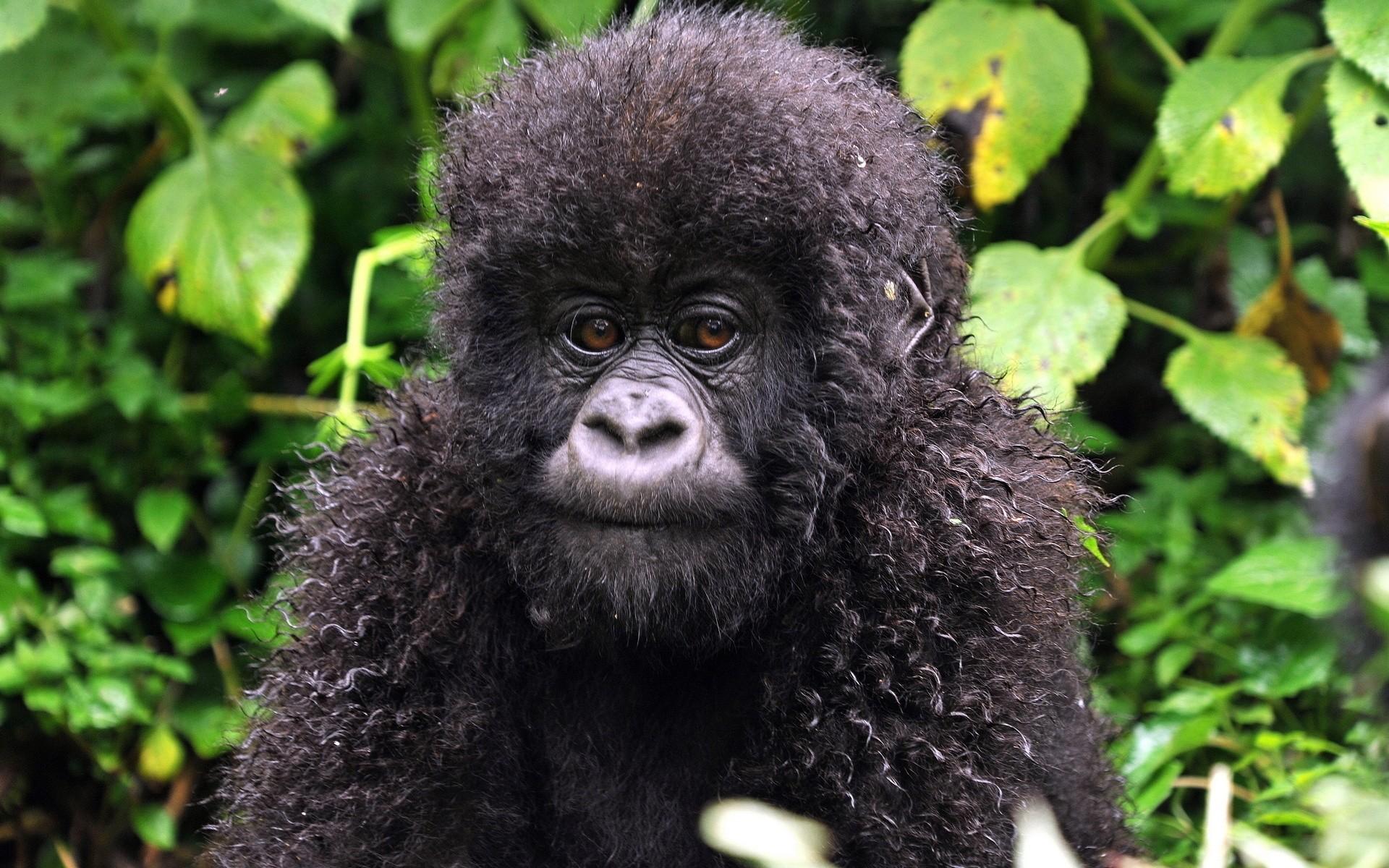 Wallpaper curls, monkey, baby, leaves