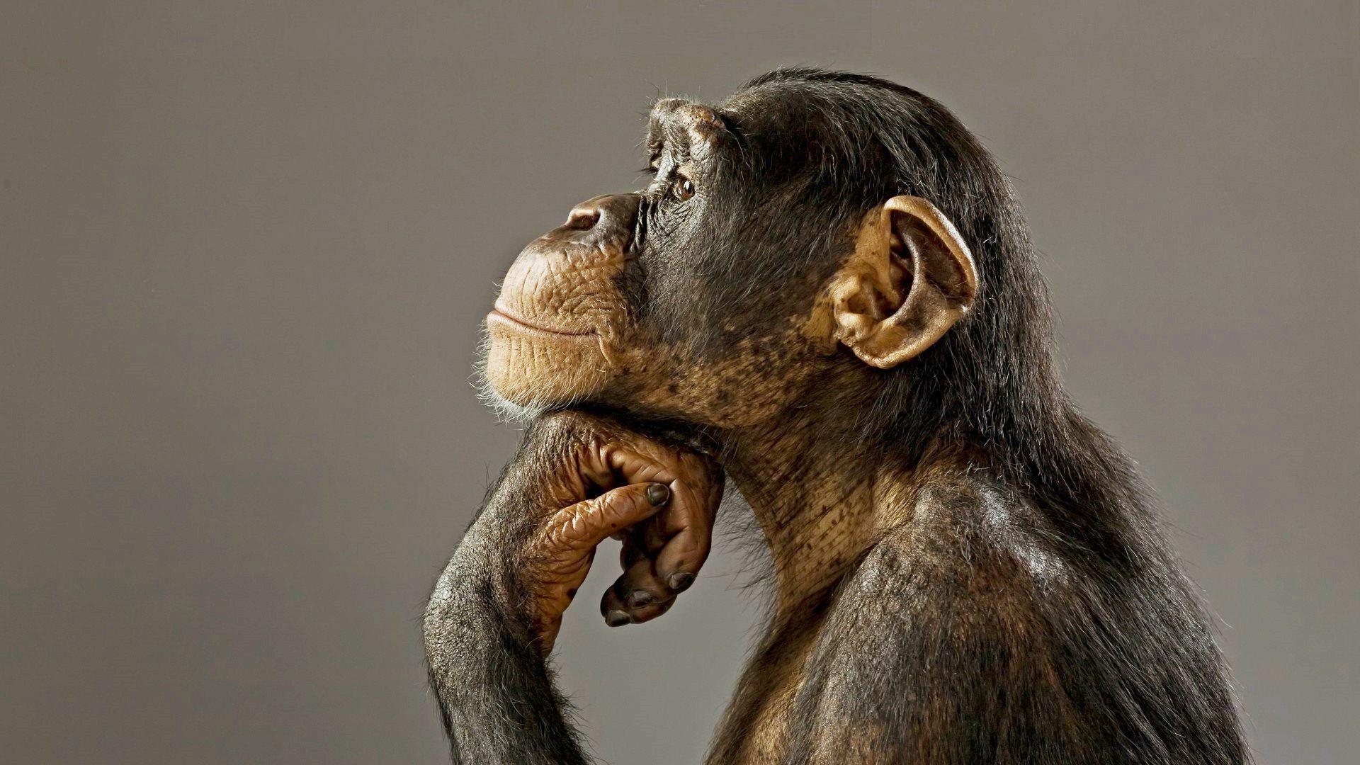 chimpanzee-wallpaper-funny-baBy.jpg