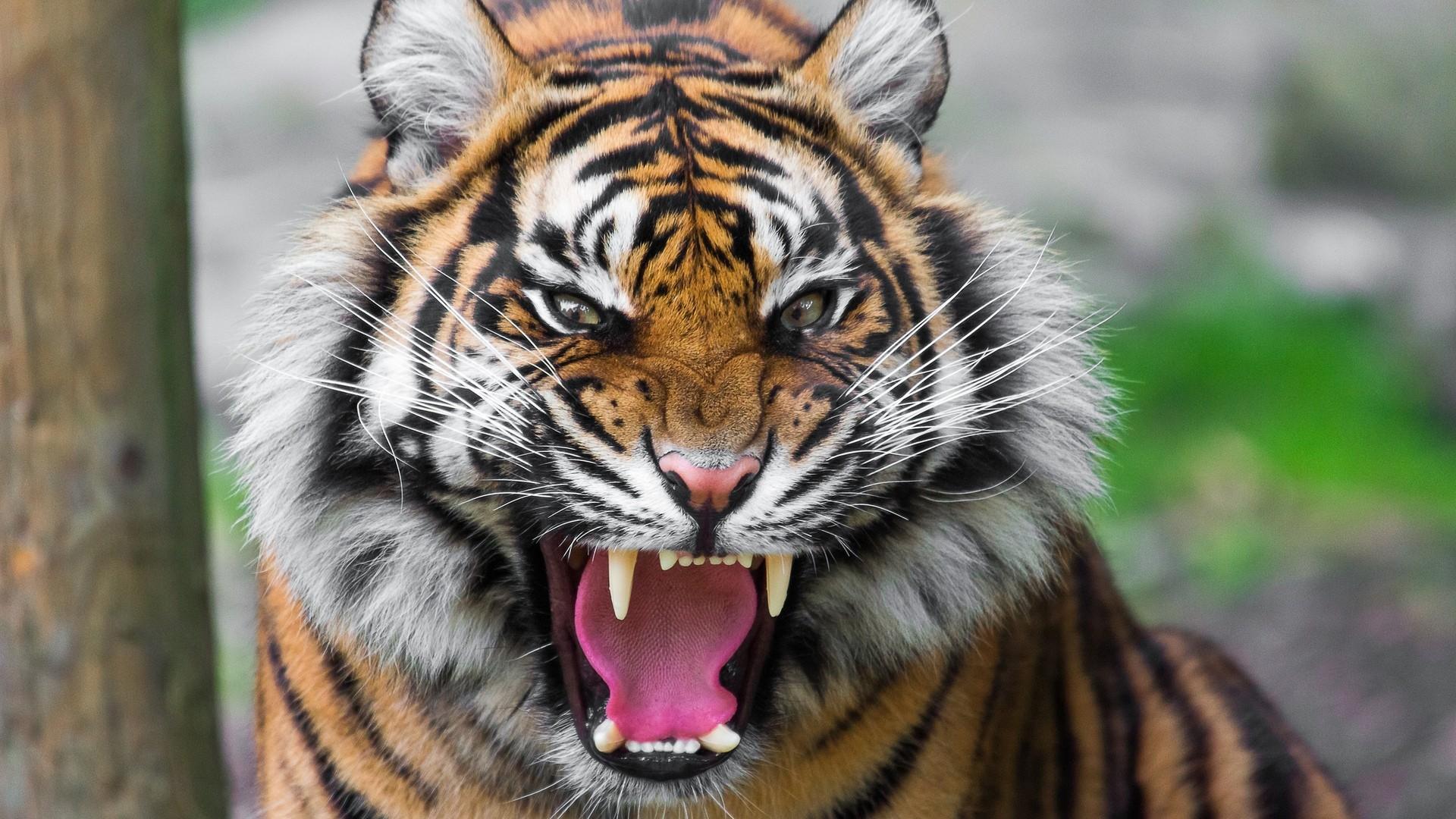 Preview wallpaper tiger, face, teeth, anger, big cat 1920×1080