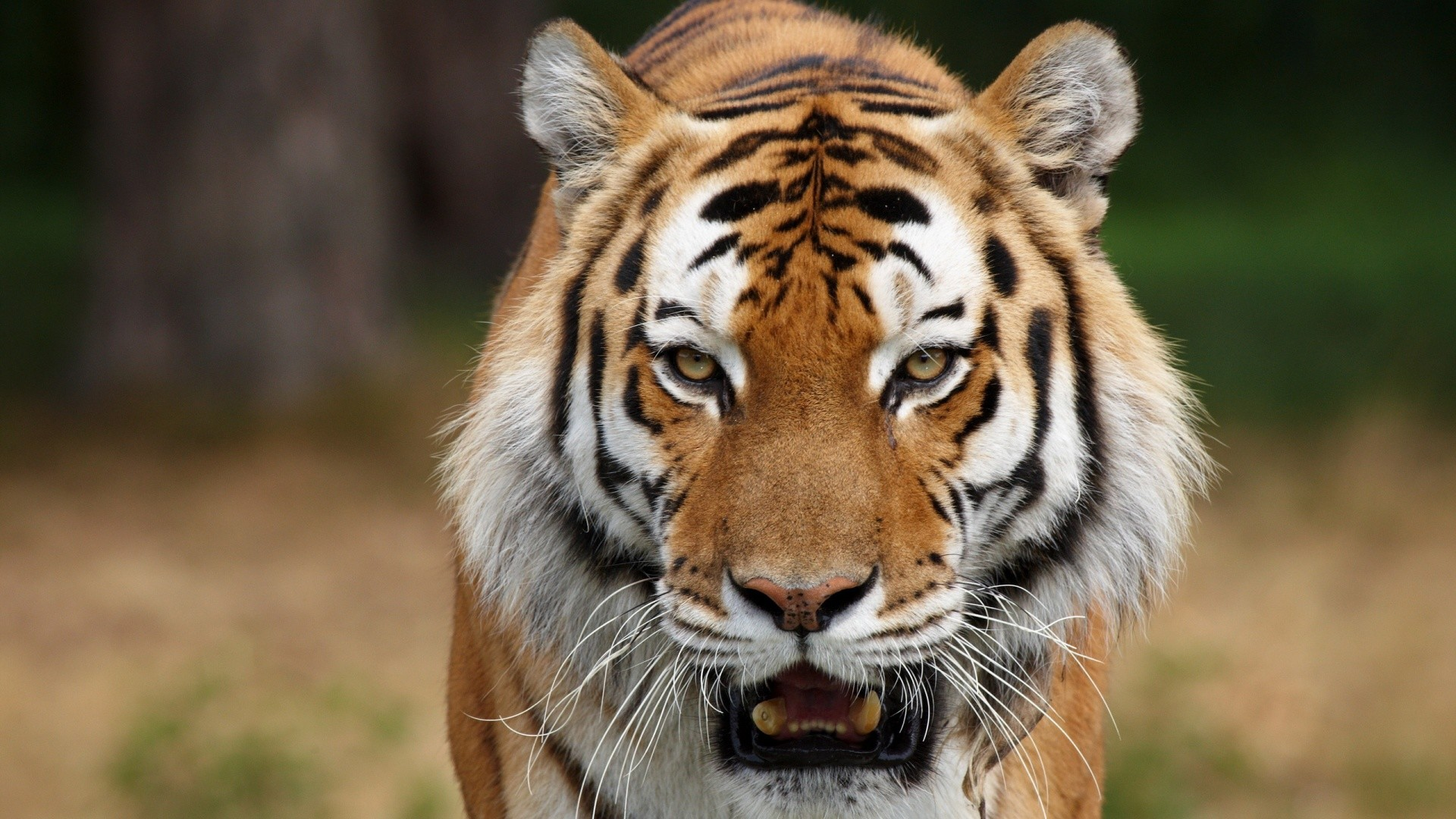 0 Awesome Fantasy Tiger 1080P full HD Wallpapers HD  Animal Wallpapers