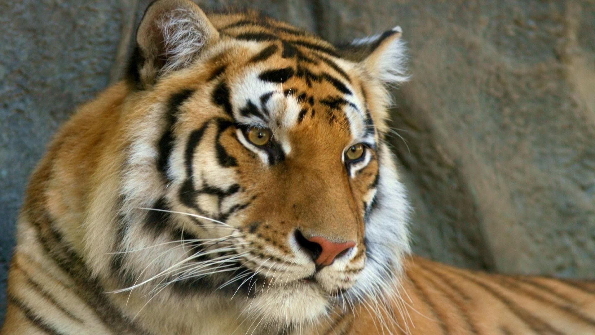 Preview wallpaper mustache, face, tiger, eyes, predator 1920×1080