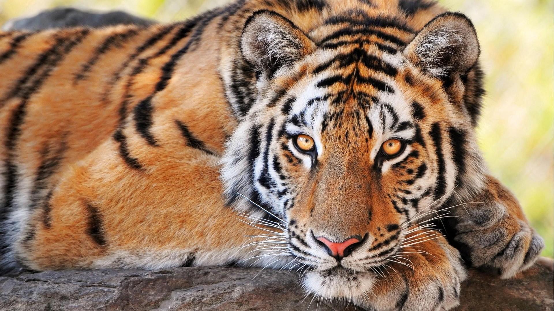 tiger hd wallpaper 0308