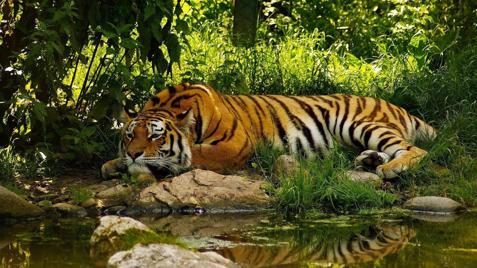 9. tiger-wallpaper-HD9-600×338