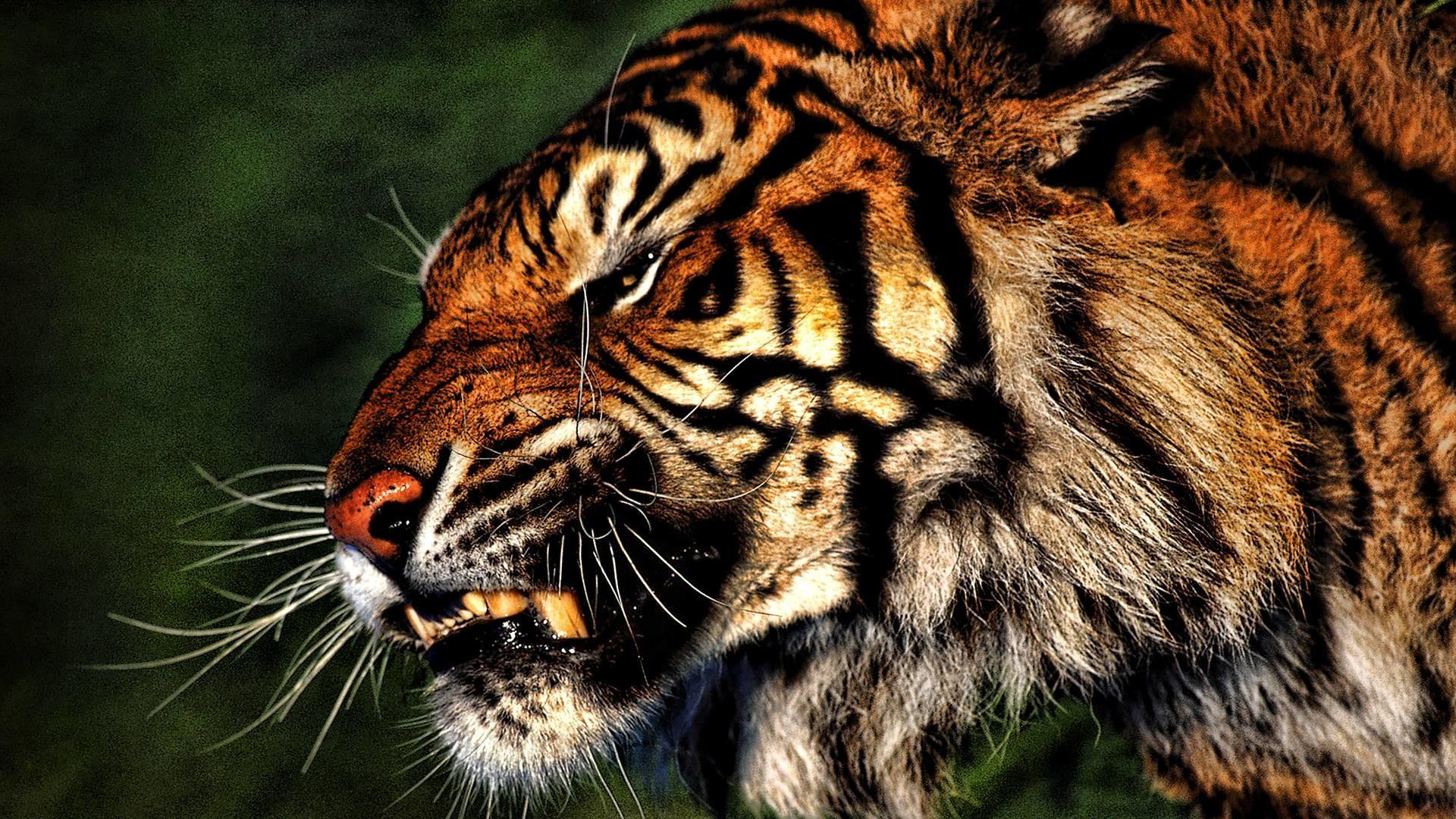 tiger wallpaper   tiger wallpaper – Part 5