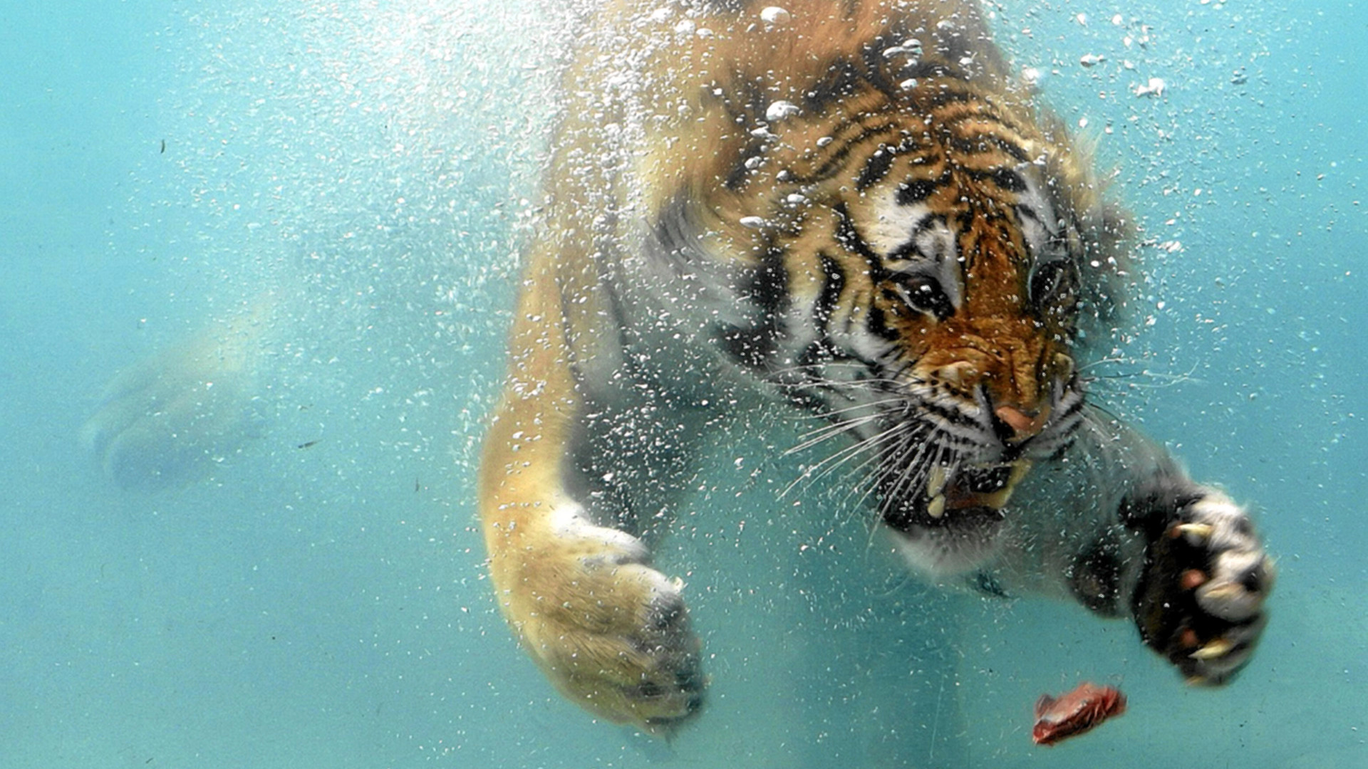 Swimming Tiger HD Wallpaper in Full HD from the Animals category.