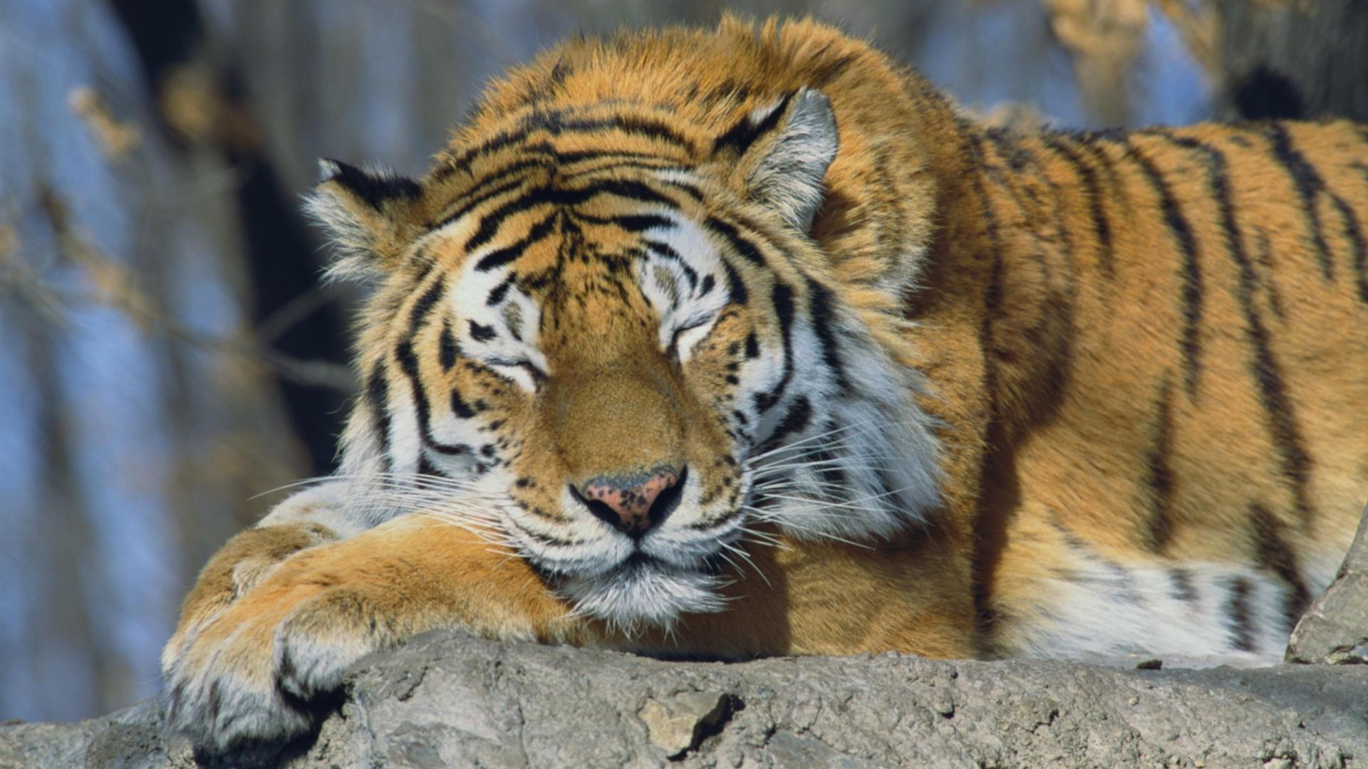 … Siberian Tiger Wallpaper …