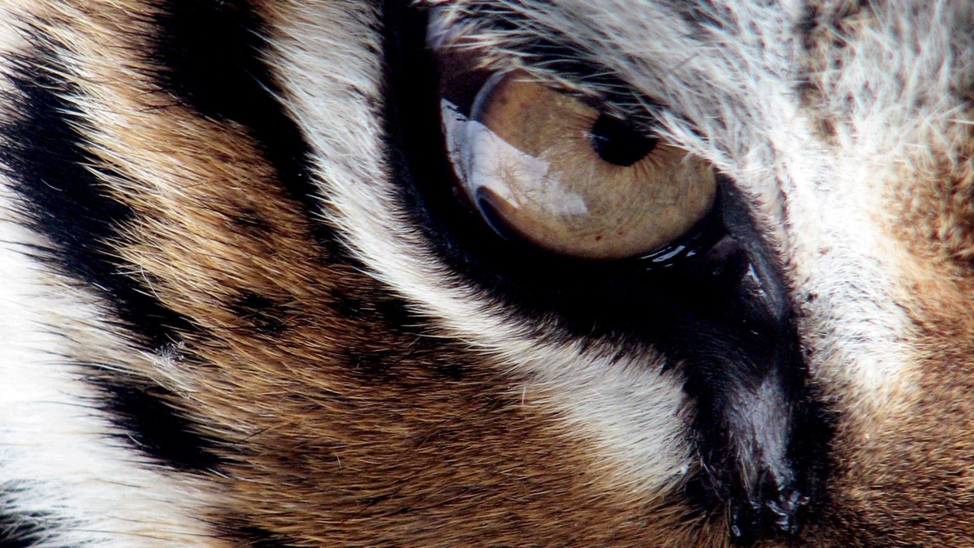 Tiger Desktop Wallpapers. Tiger Desktop Wallpapers · Tiger HD