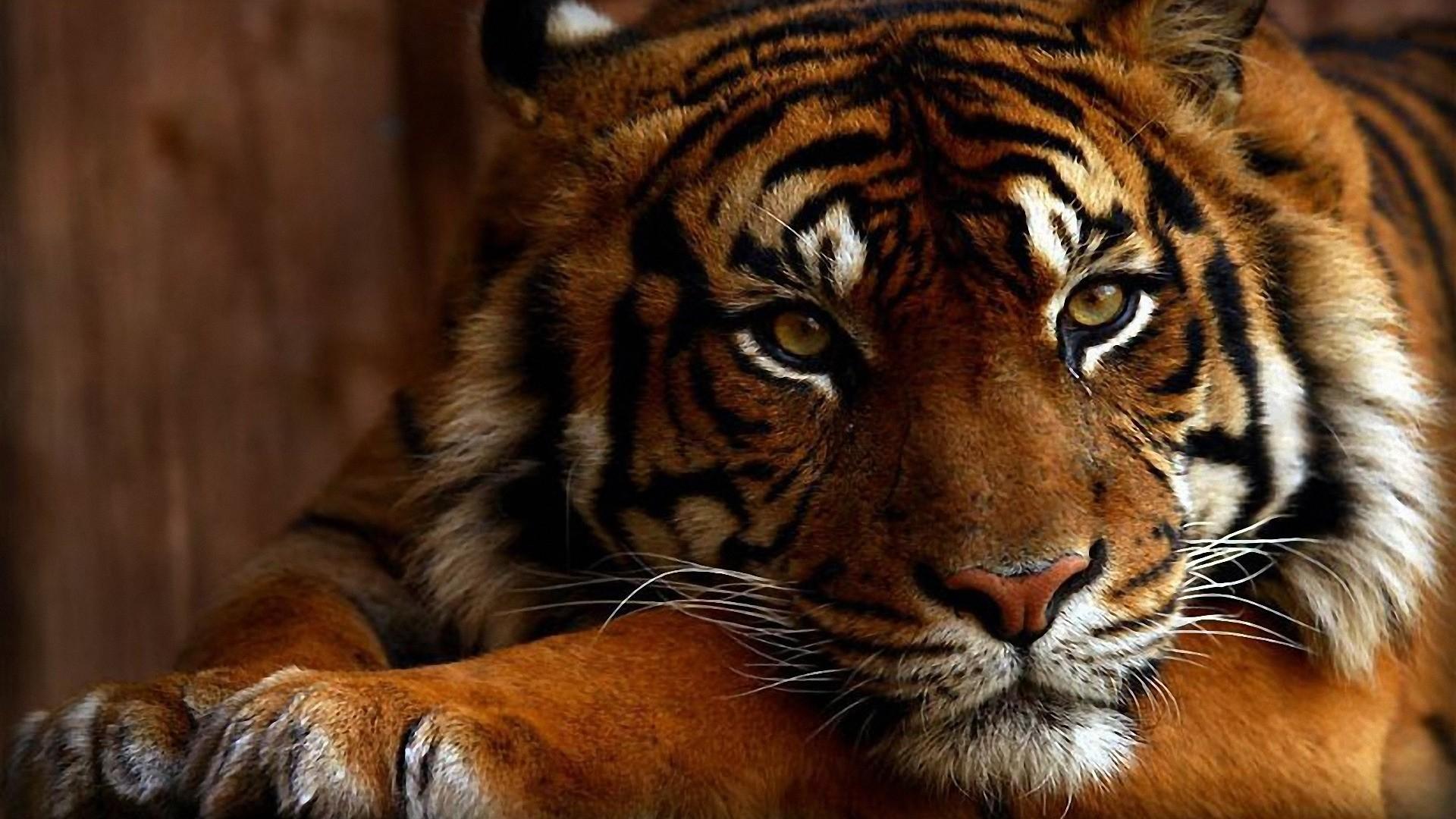 Bengal Tiger Wallpaper Full HD.