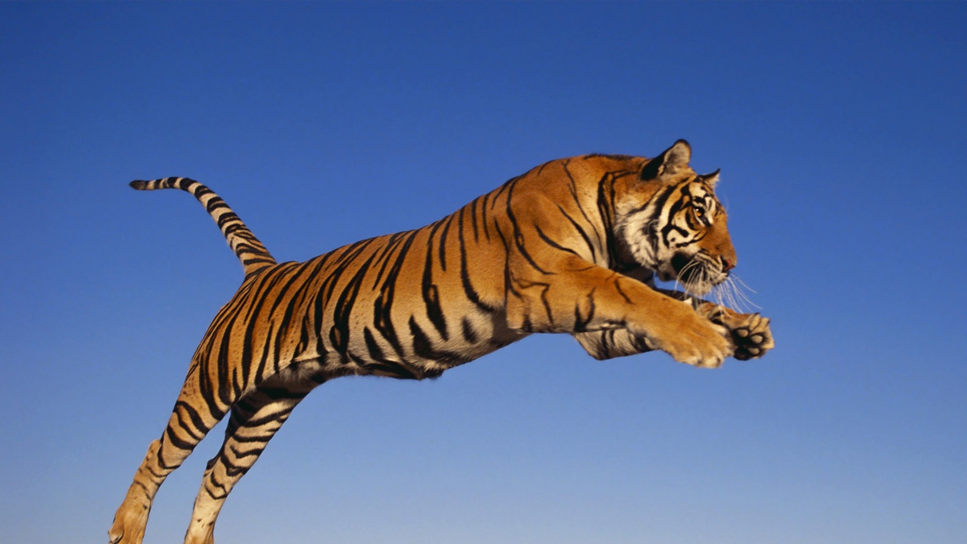 … Background Full HD 1080p. Wallpaper tiger, jump, predator