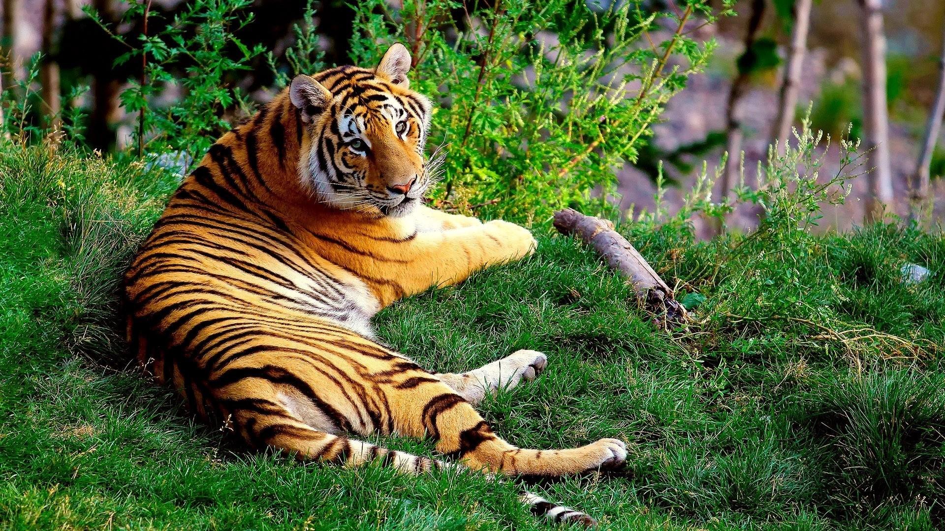 … Background Full HD 1080p. Wallpaper tiger, lying, grass,  wood, big cat
