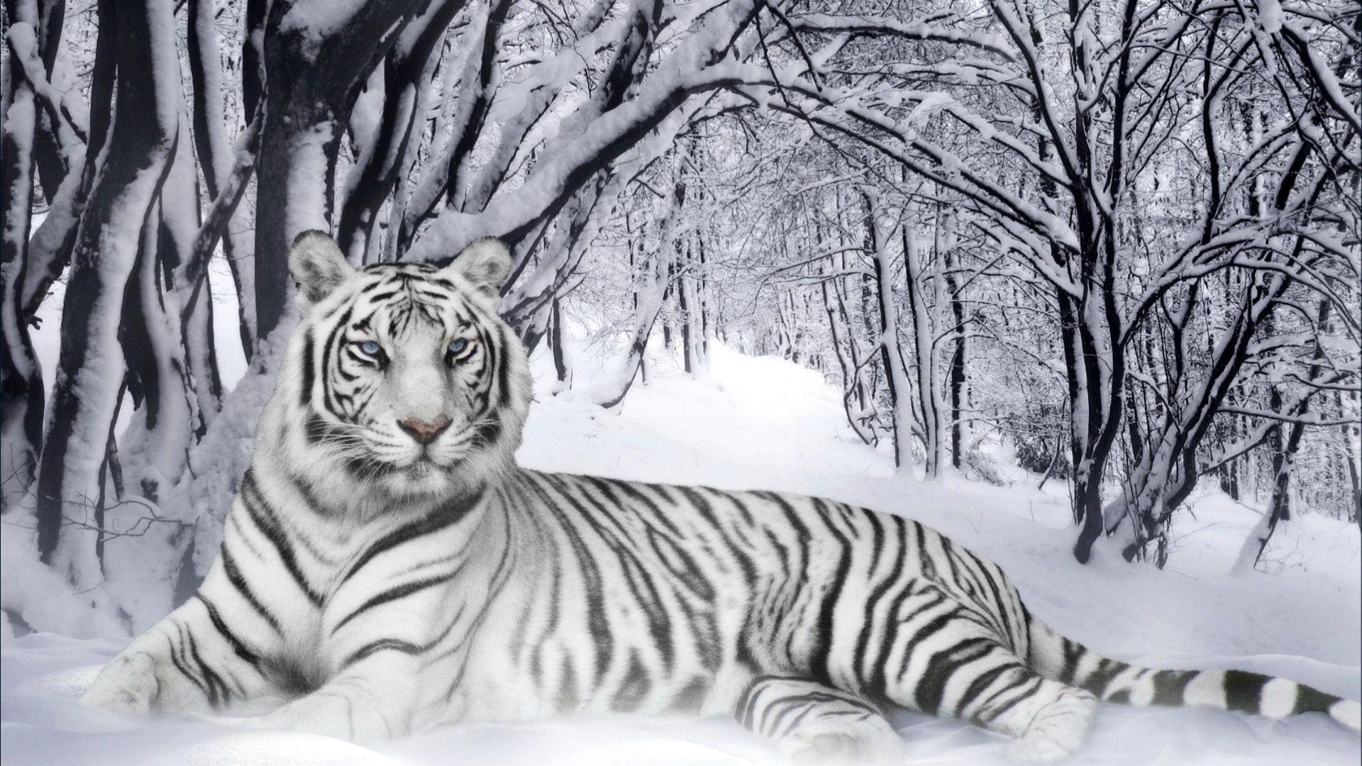 KuBiPeT.com WP.488: White Tiger, Gorgeous Pictures