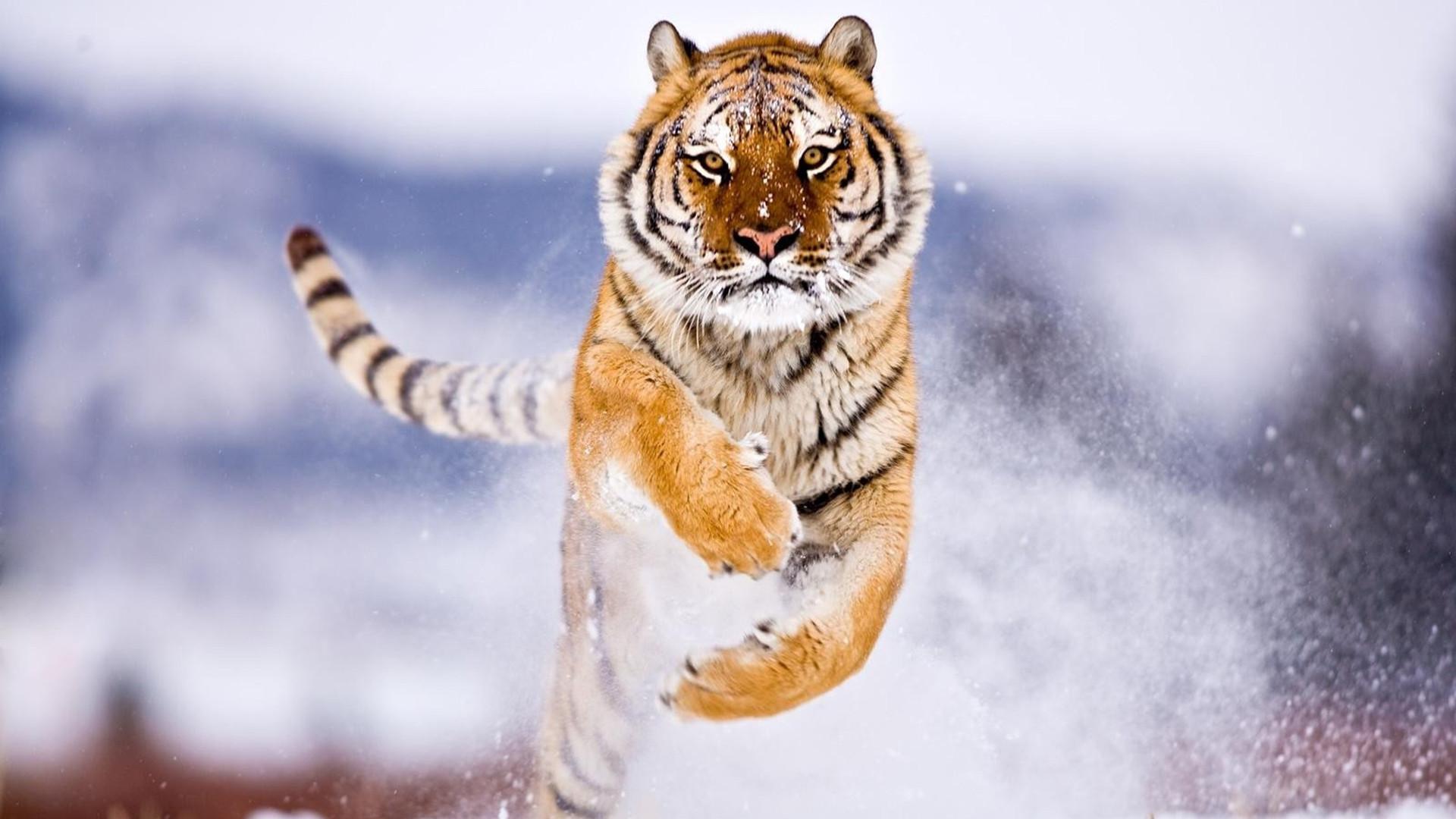 Running tiger wallpaper animals images.