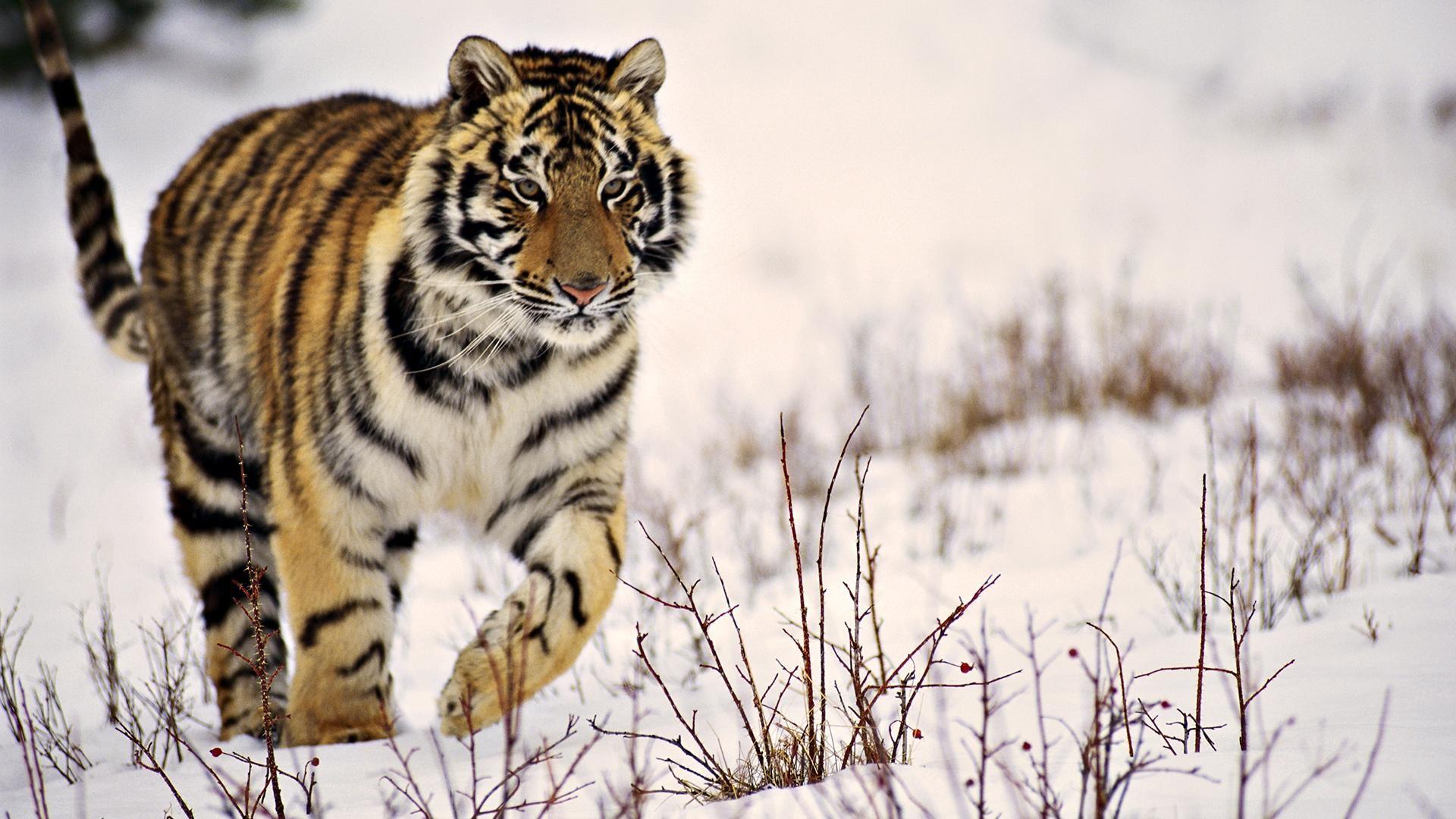 X Tiger Wallpaper Full HD 1280×800 Tiger Wallpapers HD (40 Wallpapers)  