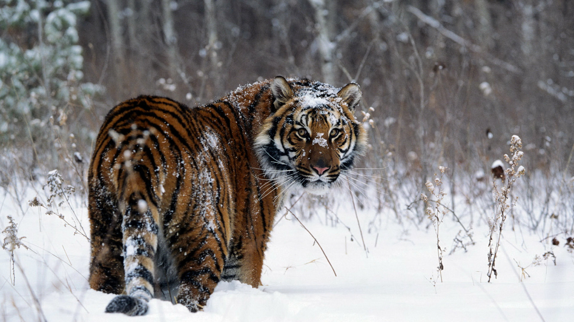 Snowy Tiger Wallpapers