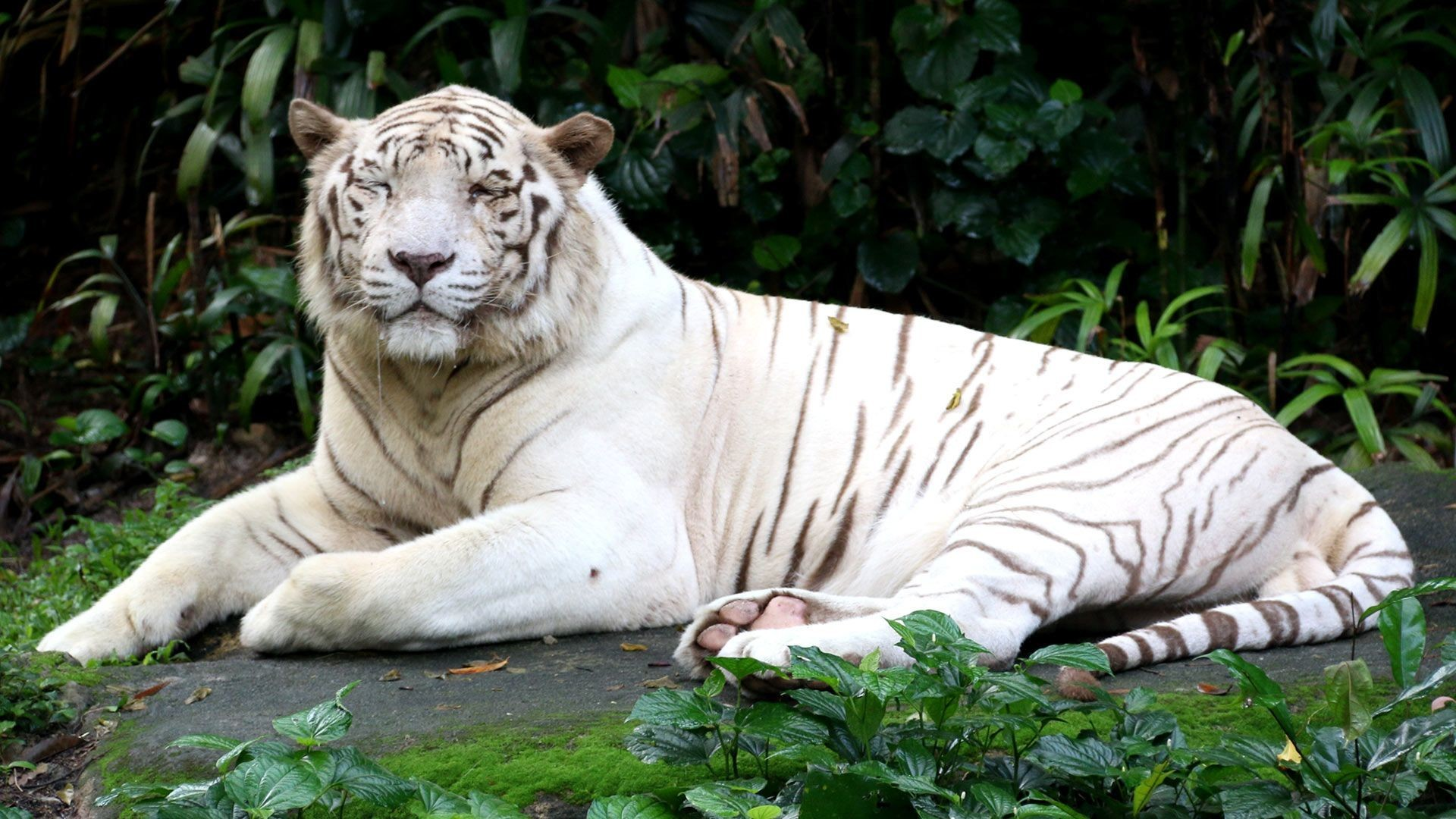 Beautiful white tiger wallpapers – Free full hd wallpapers for .