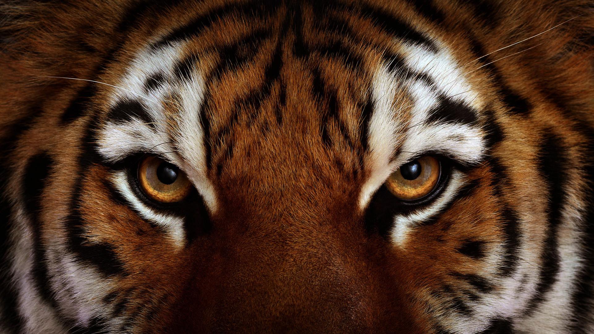 Animal – Tiger Wallpaper