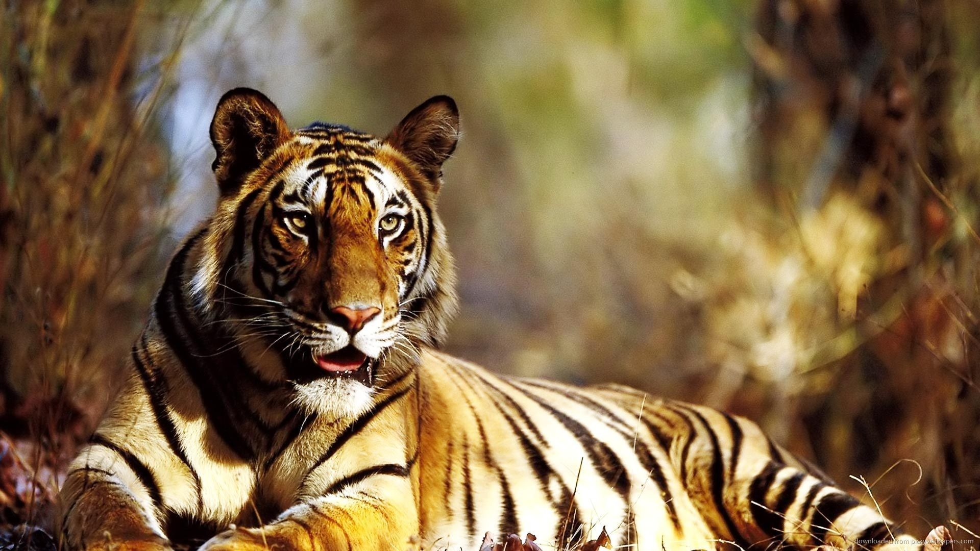 Tiger HD Wallpapers Full High Quality New Backgrounds