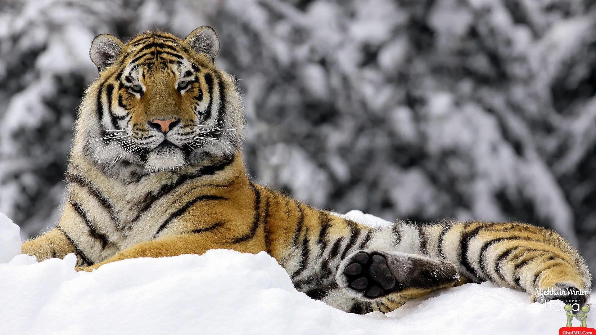 Wallpapers For > Siberian Tiger Wallpaper
