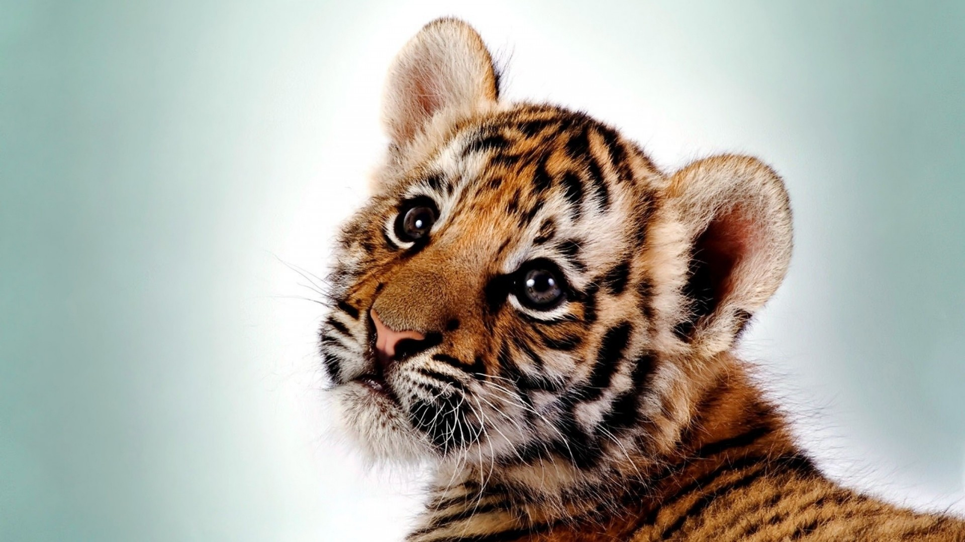 Preview wallpaper tiger, kitten, big cat, cub, predator 1920×1080