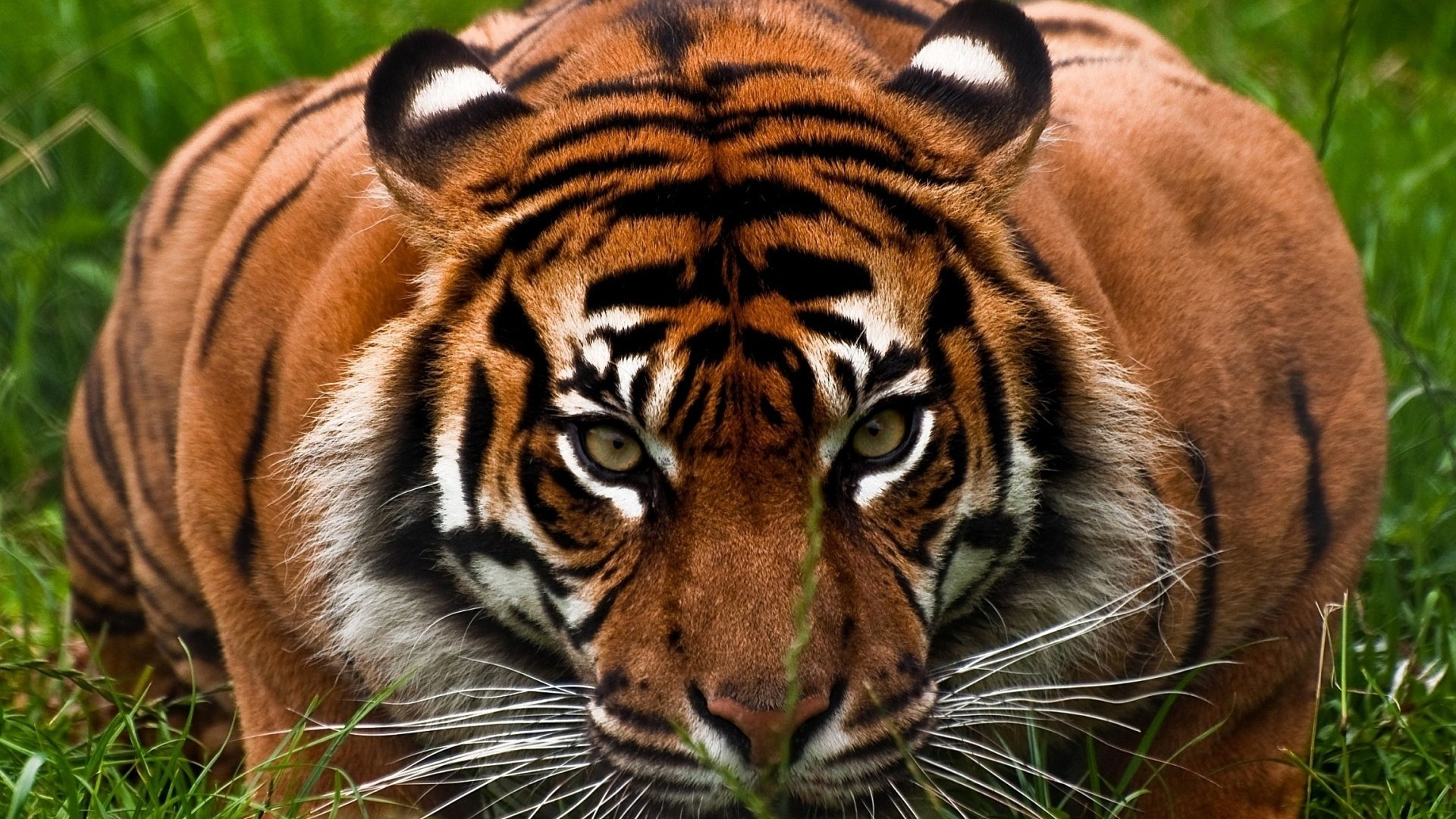 … Background Full HD 1080p. Wallpaper tiger, face, aggression,  animal