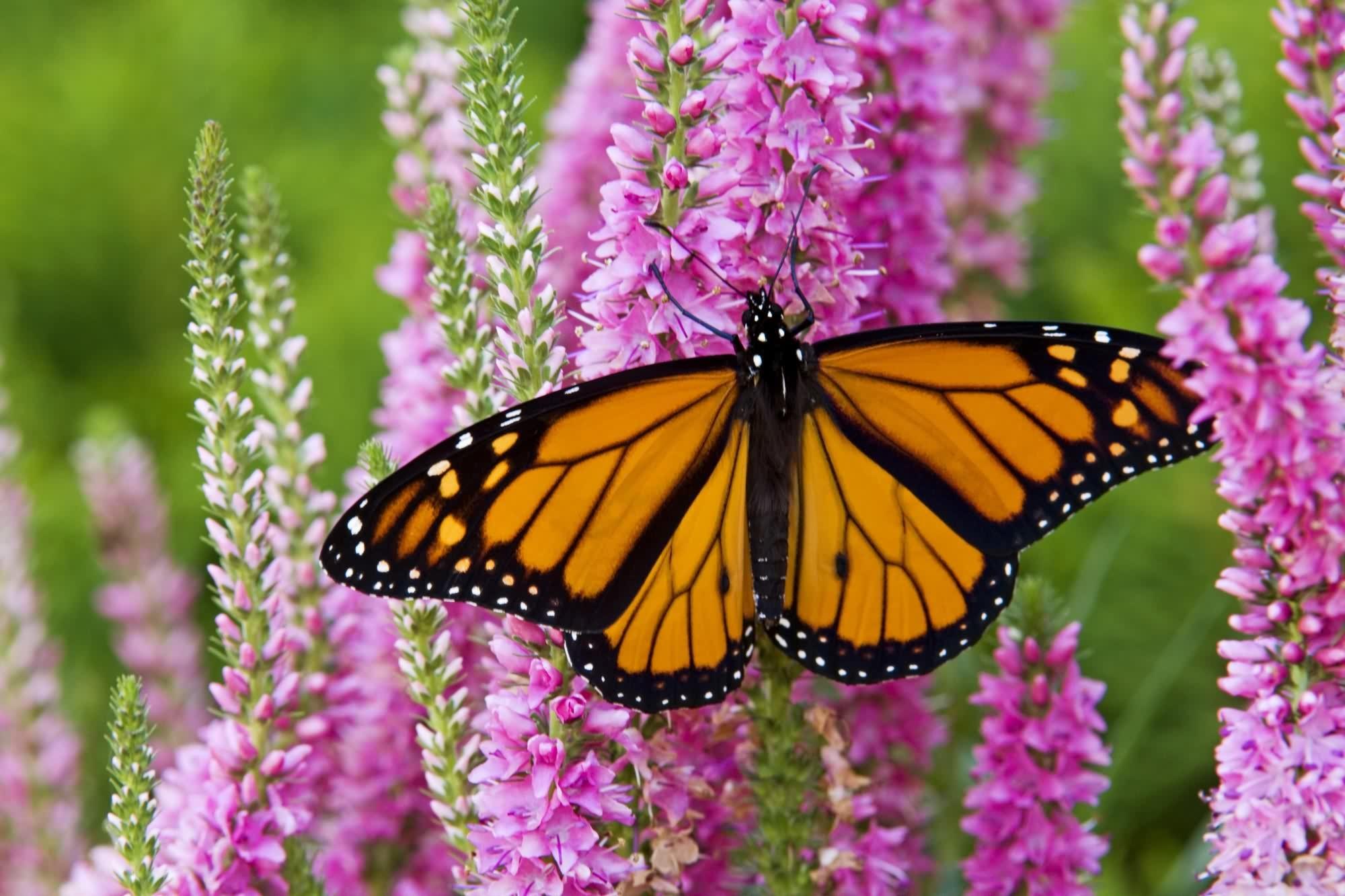 Monarch Butterfly · Desktop Wallpaper …