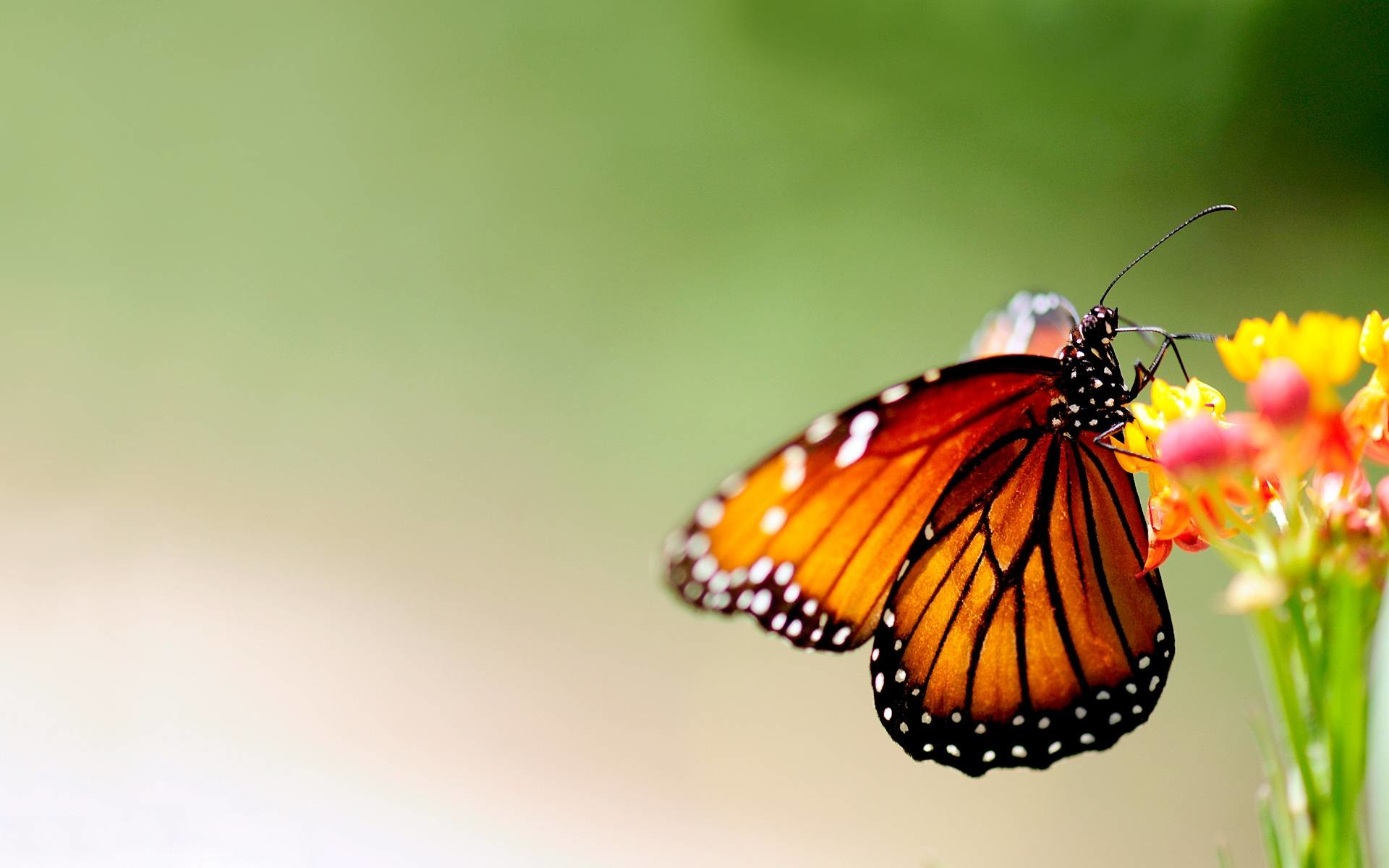 butterfly wallpaper and -#main