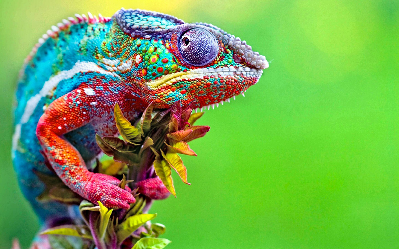 HD Wallpaper | Background ID:503155. Animal Chameleon