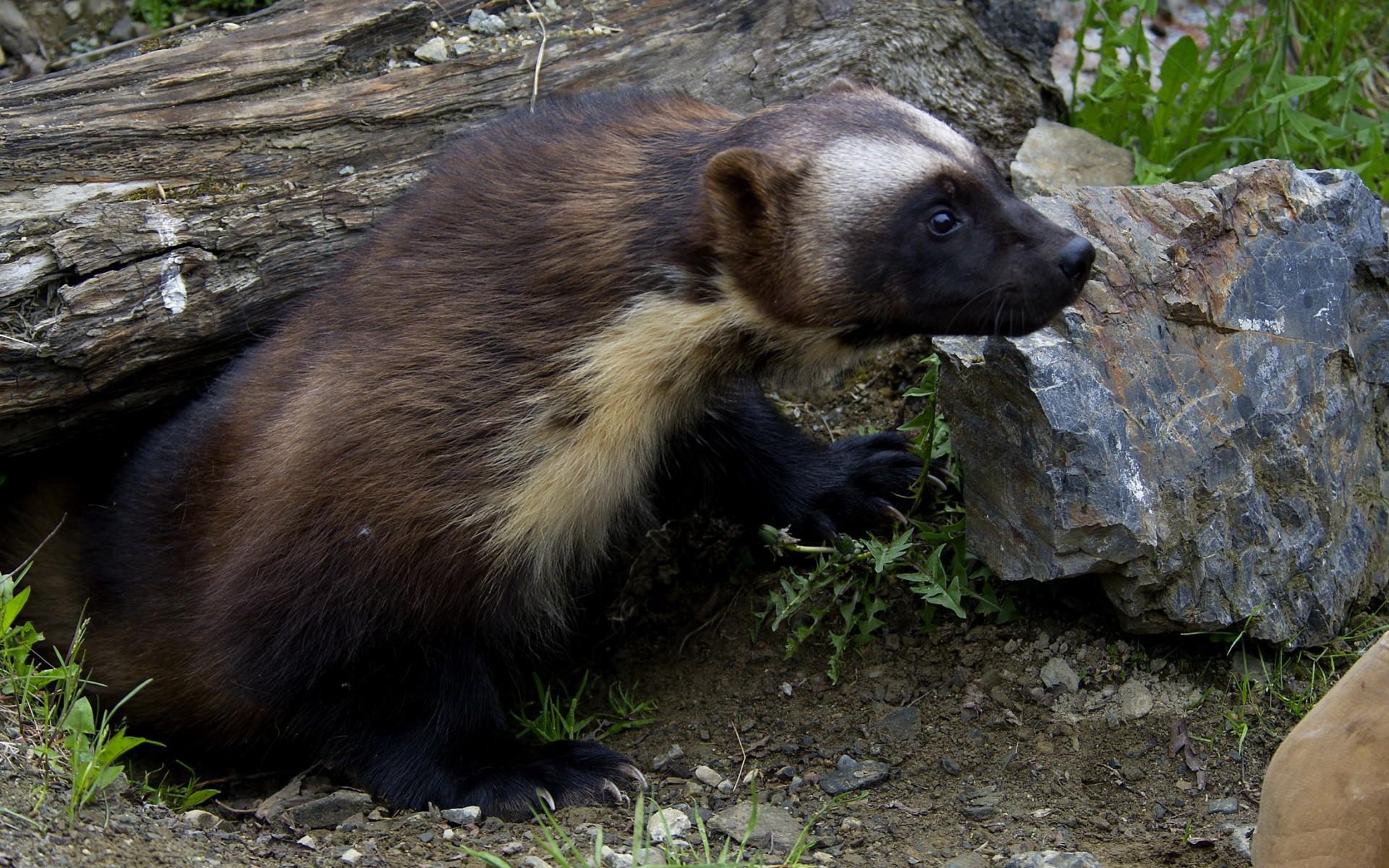 Wolverine Animal Wallpaper