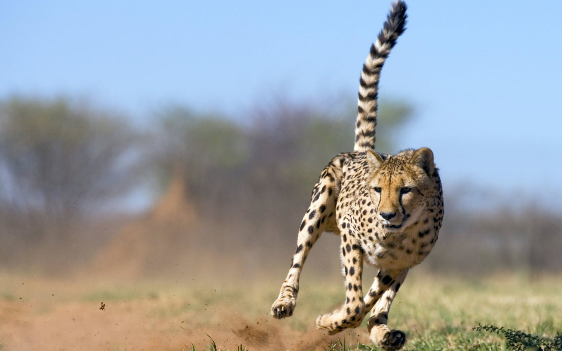 For Desktop Wallpapers And Backgrounds Running Cheetah Animal