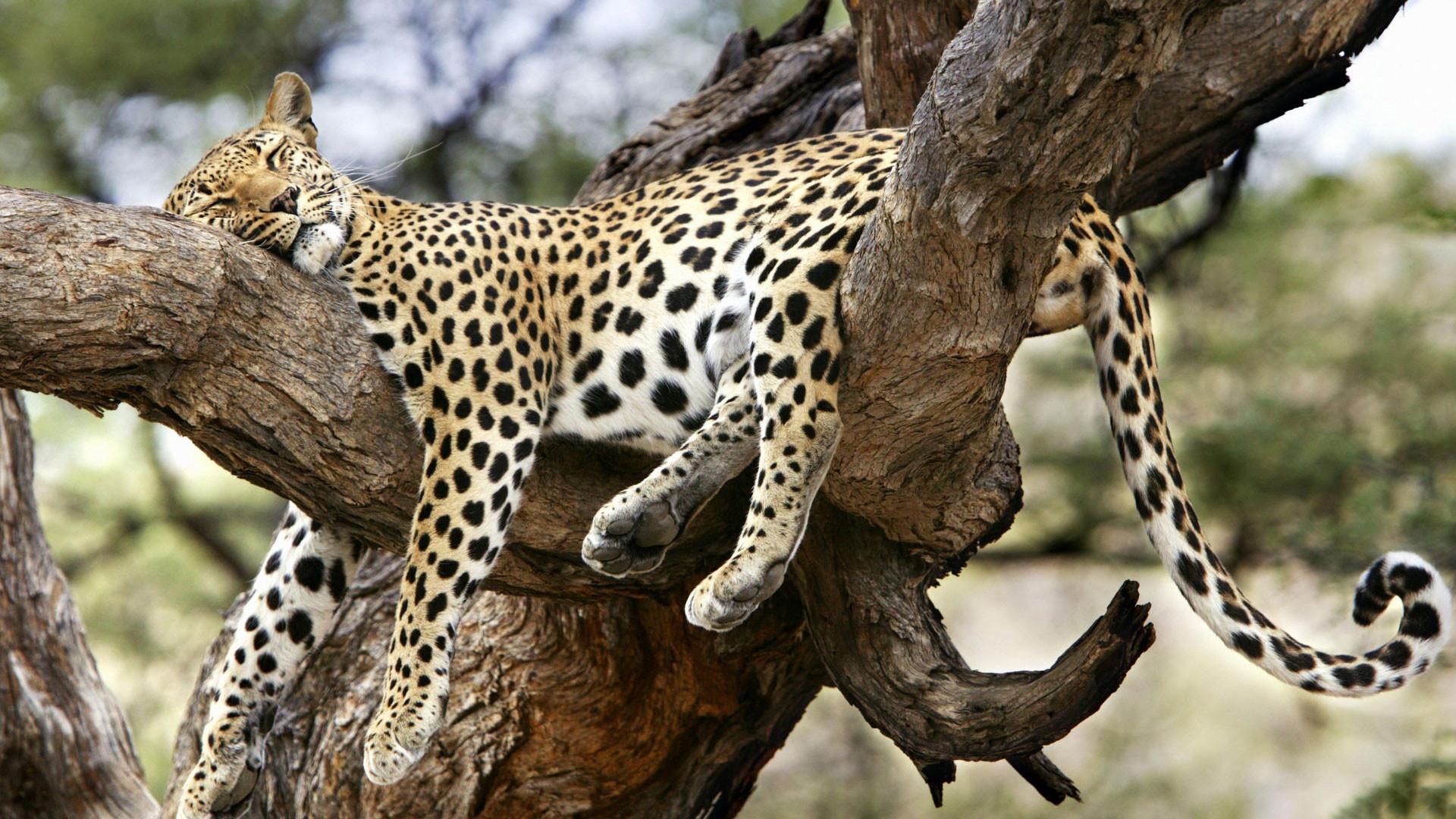 Sleeping Leapard