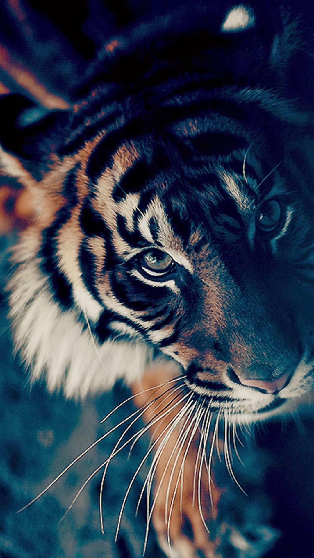 Best 25+ Tiger wallpaper ideas on Pinterest | Tiger pictures, Tigers in the  wild and Tigers