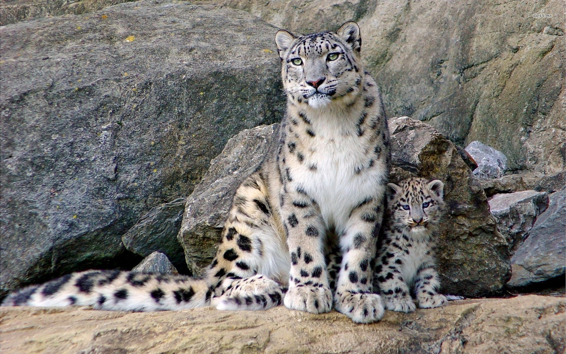 Animals · Clouded Leopard HD Wallpapers Backgrounds Wallpaper