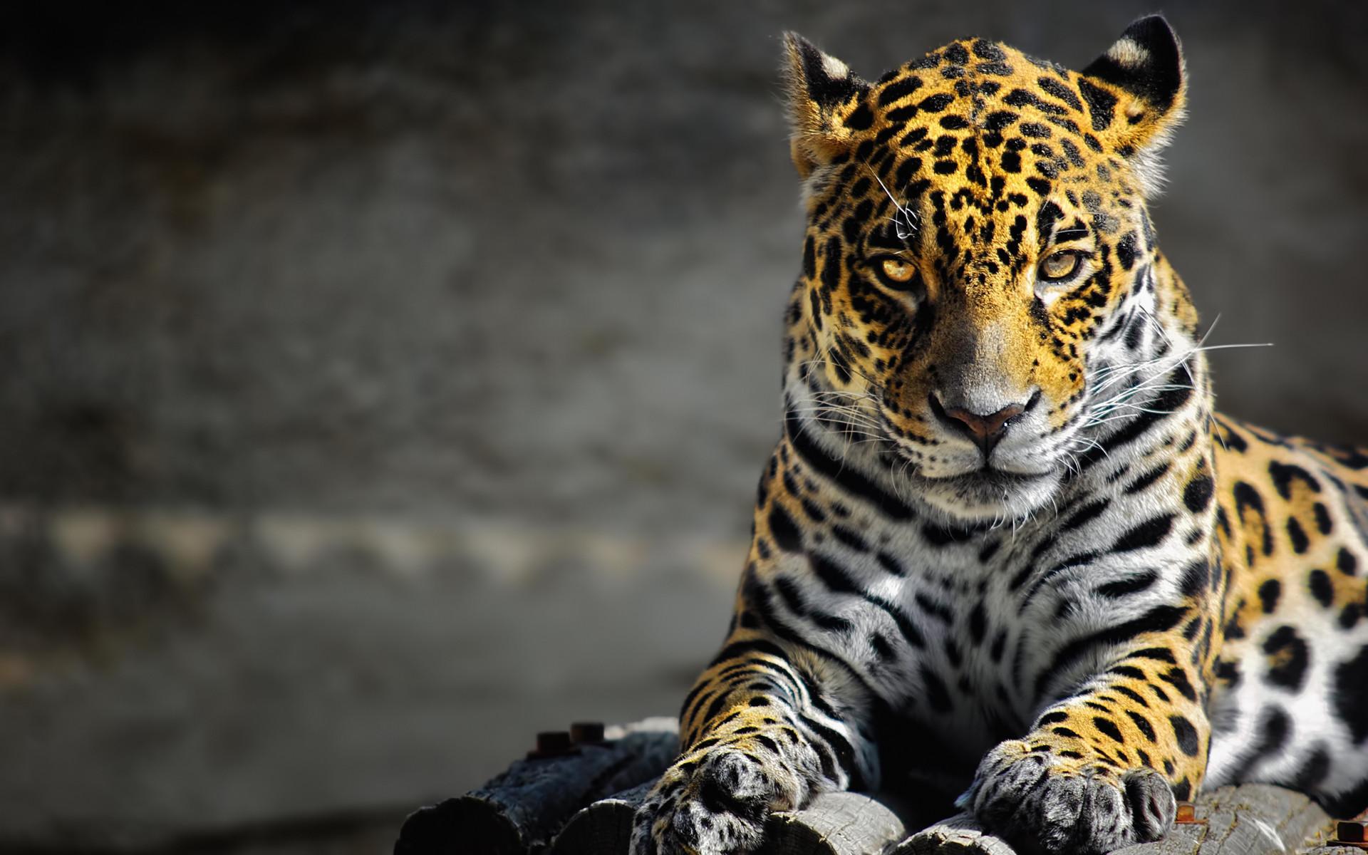 2131 Cool Jaguar Wallpaper