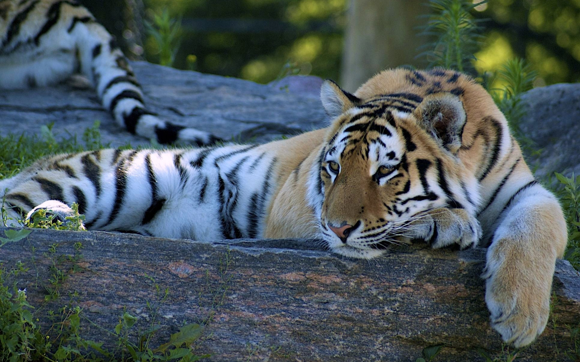 Tiger Animal Wallpaper