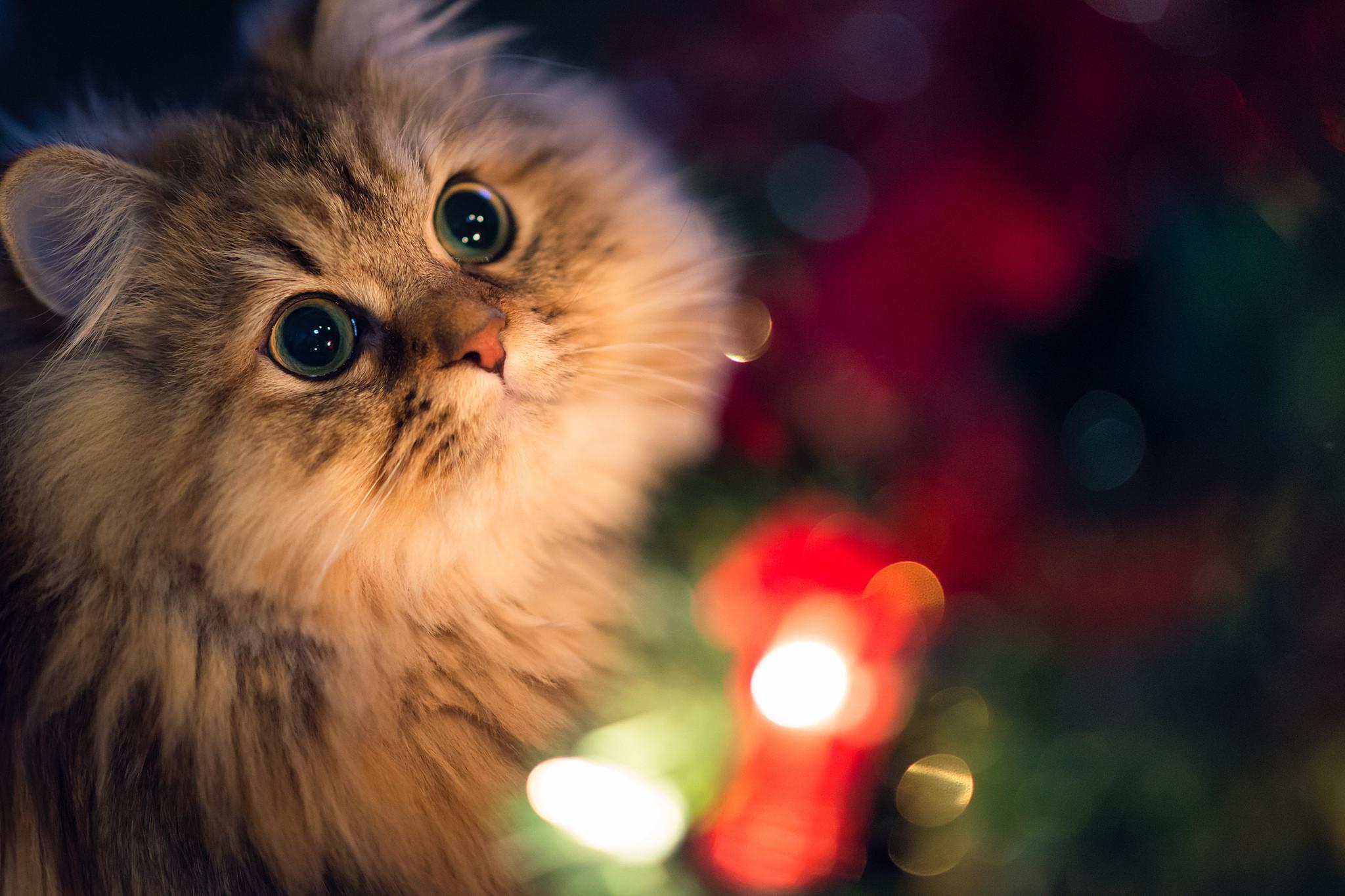 Beautiful Innocent Eyes Cute Cat Wallpaper