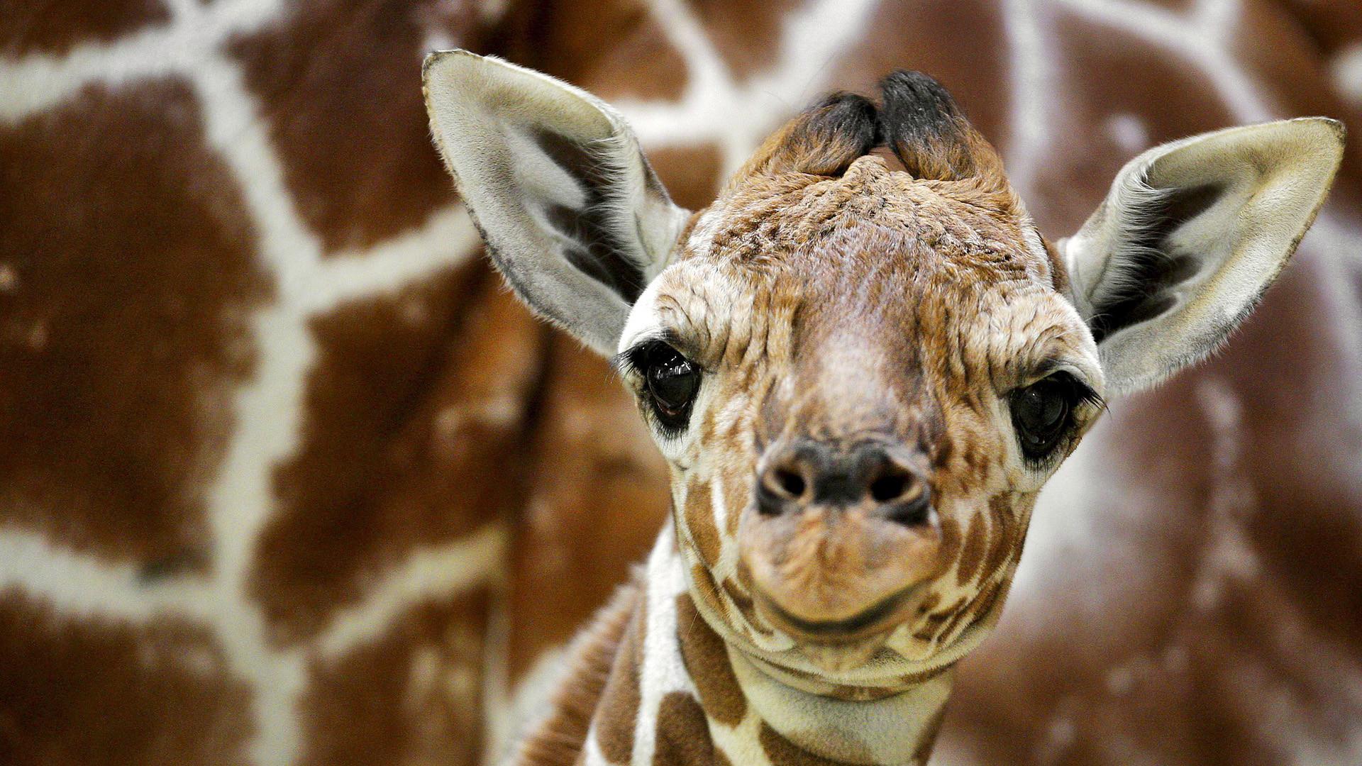 … Smartphone · Giraffe 1080p Wallpaper